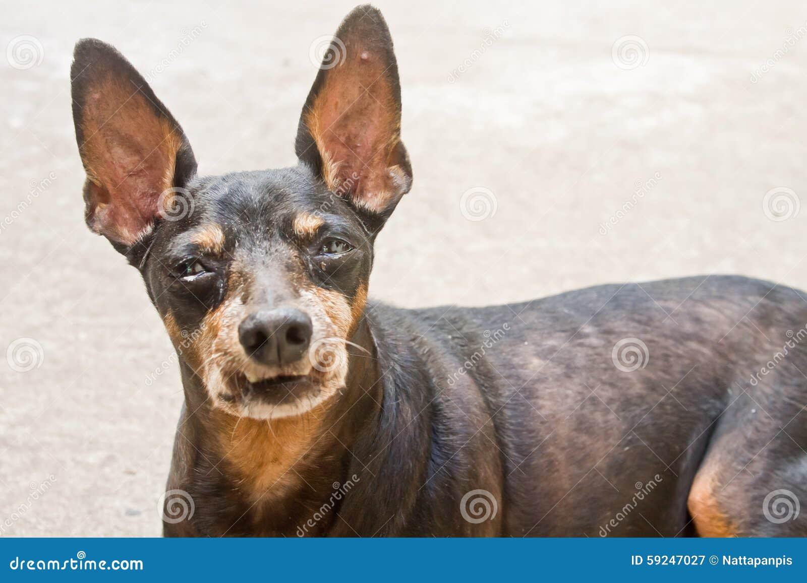 Perro del Pinscher miniatura