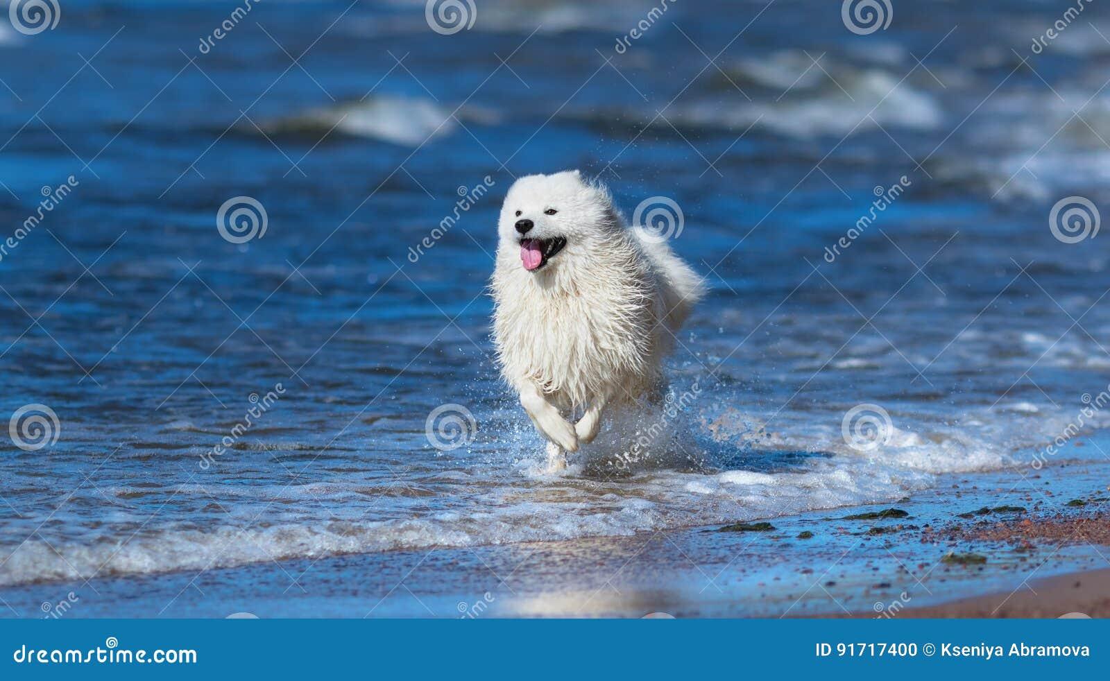 Perro del samoyedo que corre en el mar Concepto sobre animales y la naturaleza