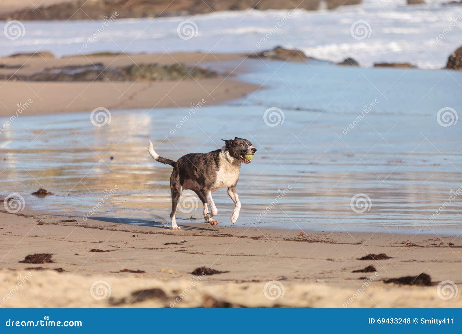 Perro del terrier de Staffordshire americano