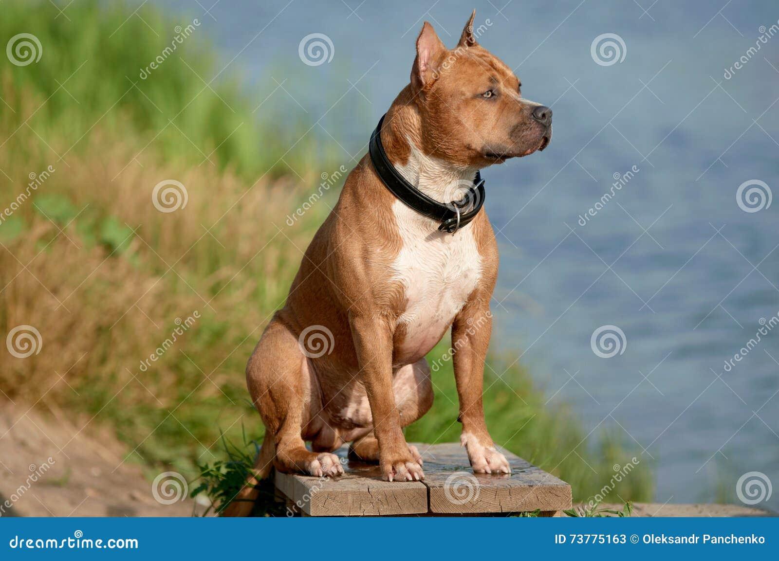 Perro del terrier de Staffordshire americano en la playa