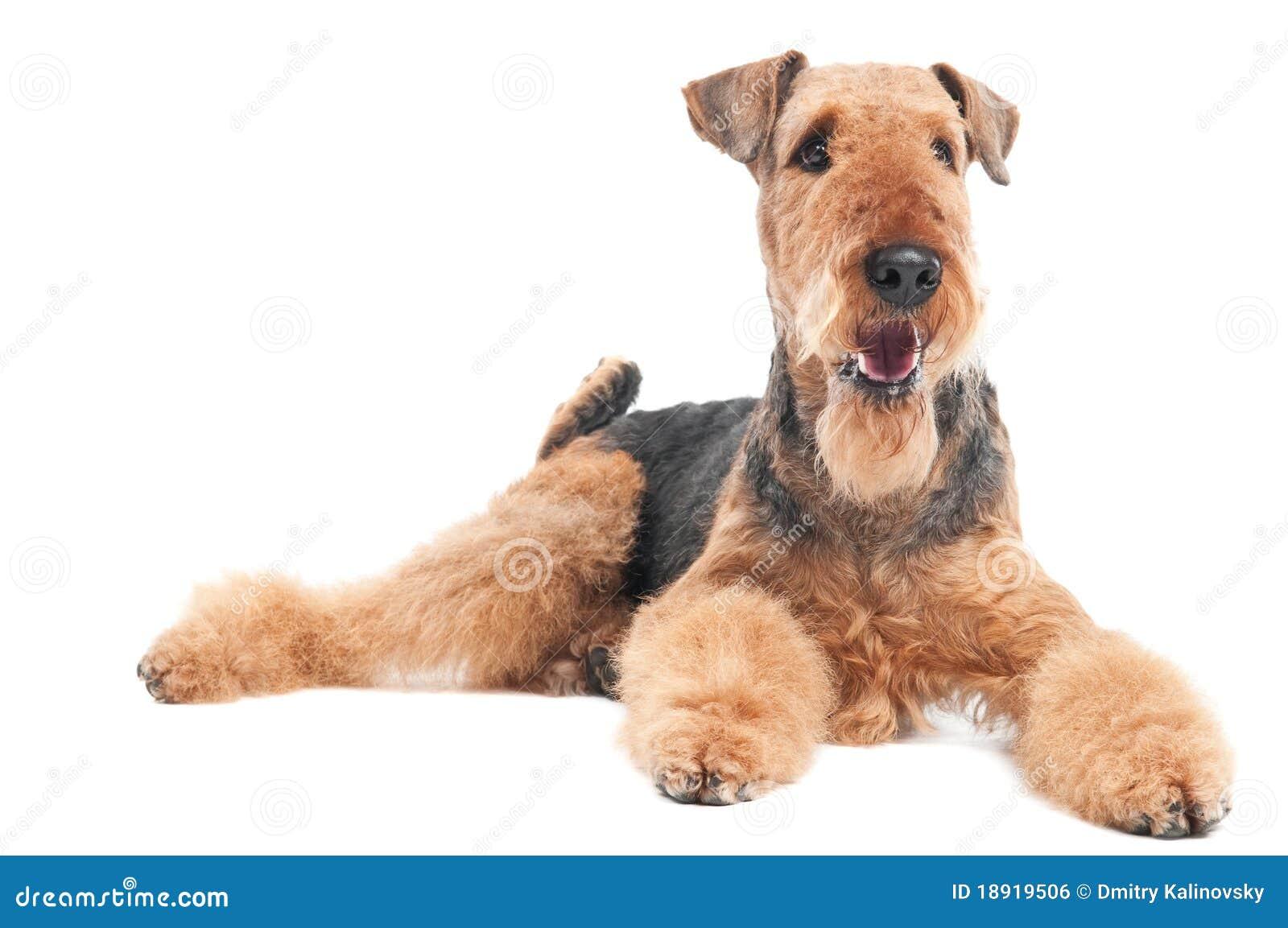 Perro del terrier del Airedale aislado
