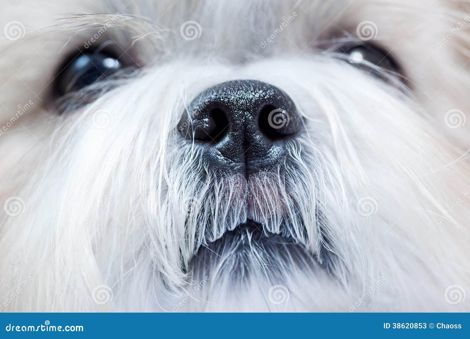 Perro del tzu de Shih