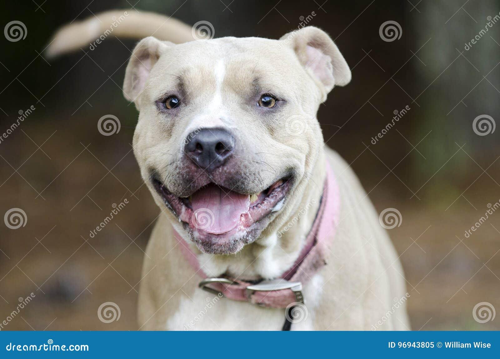 Perro diluído de Pit Bull Terrier del americano del moreno