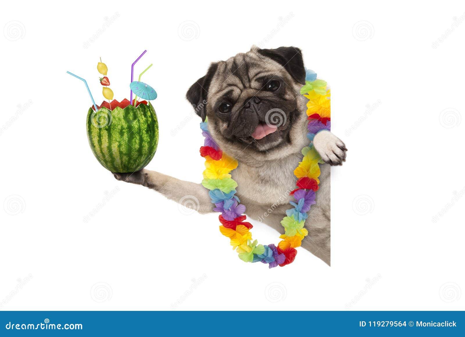Perro divertido del barro amasado del verano con la guirnalda hawaiana de la flor, sosteniendo el cóctel de la sandía con el para