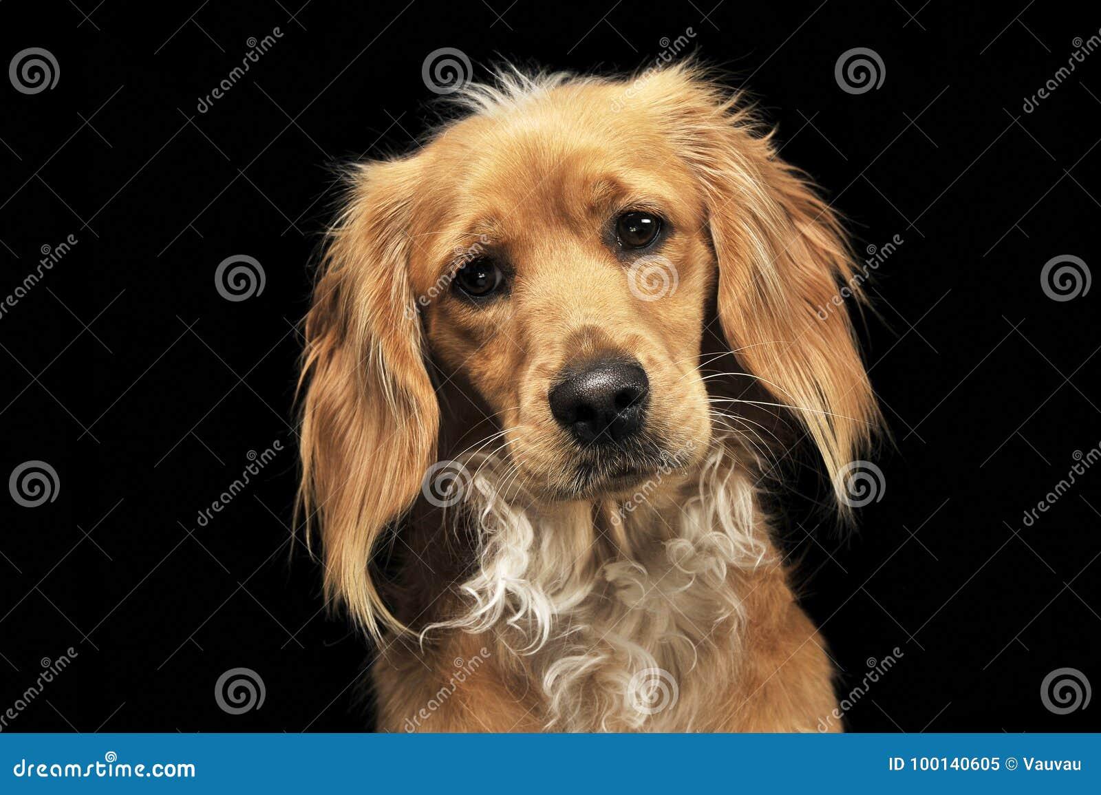 Perro divertido del marrón mezclado de la raza en un estudio oscuro