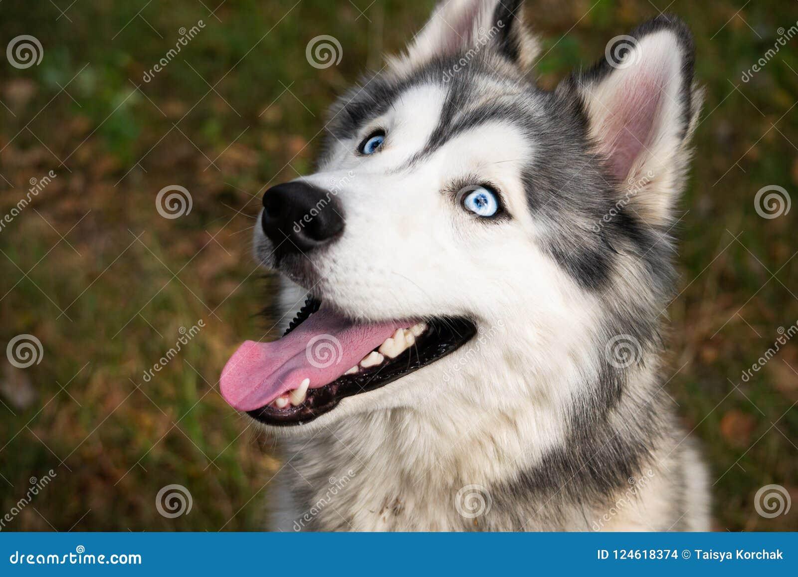 Perro enérgico joven en un paseo Perro esquimal siberiano