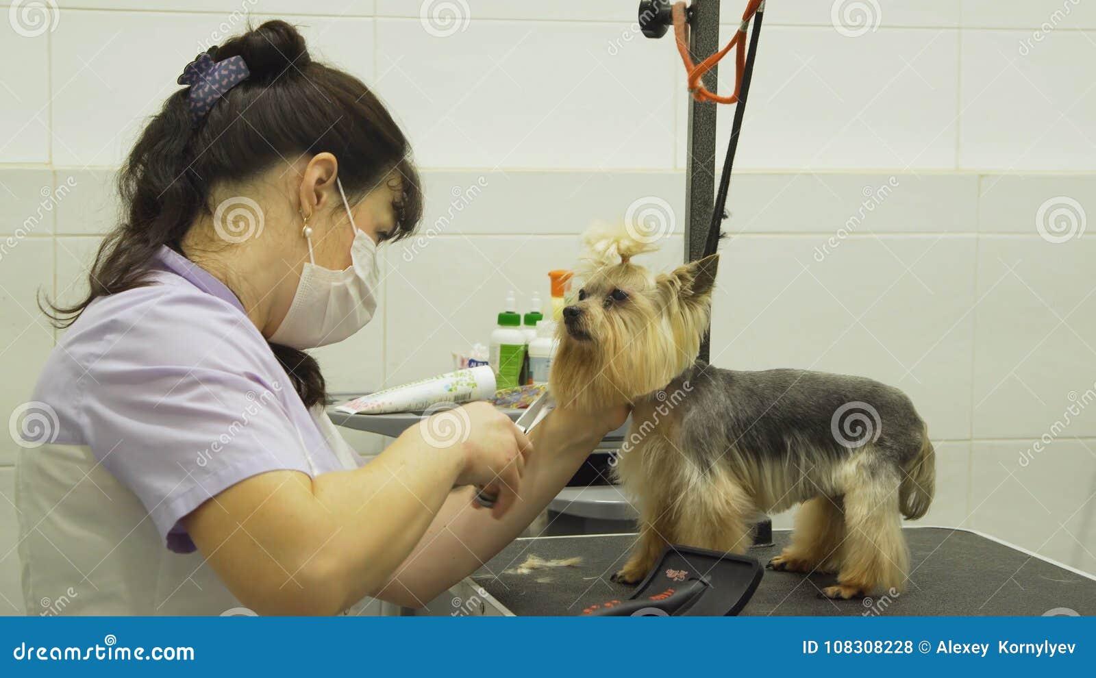 Perro en salón de la preparación del animal doméstico