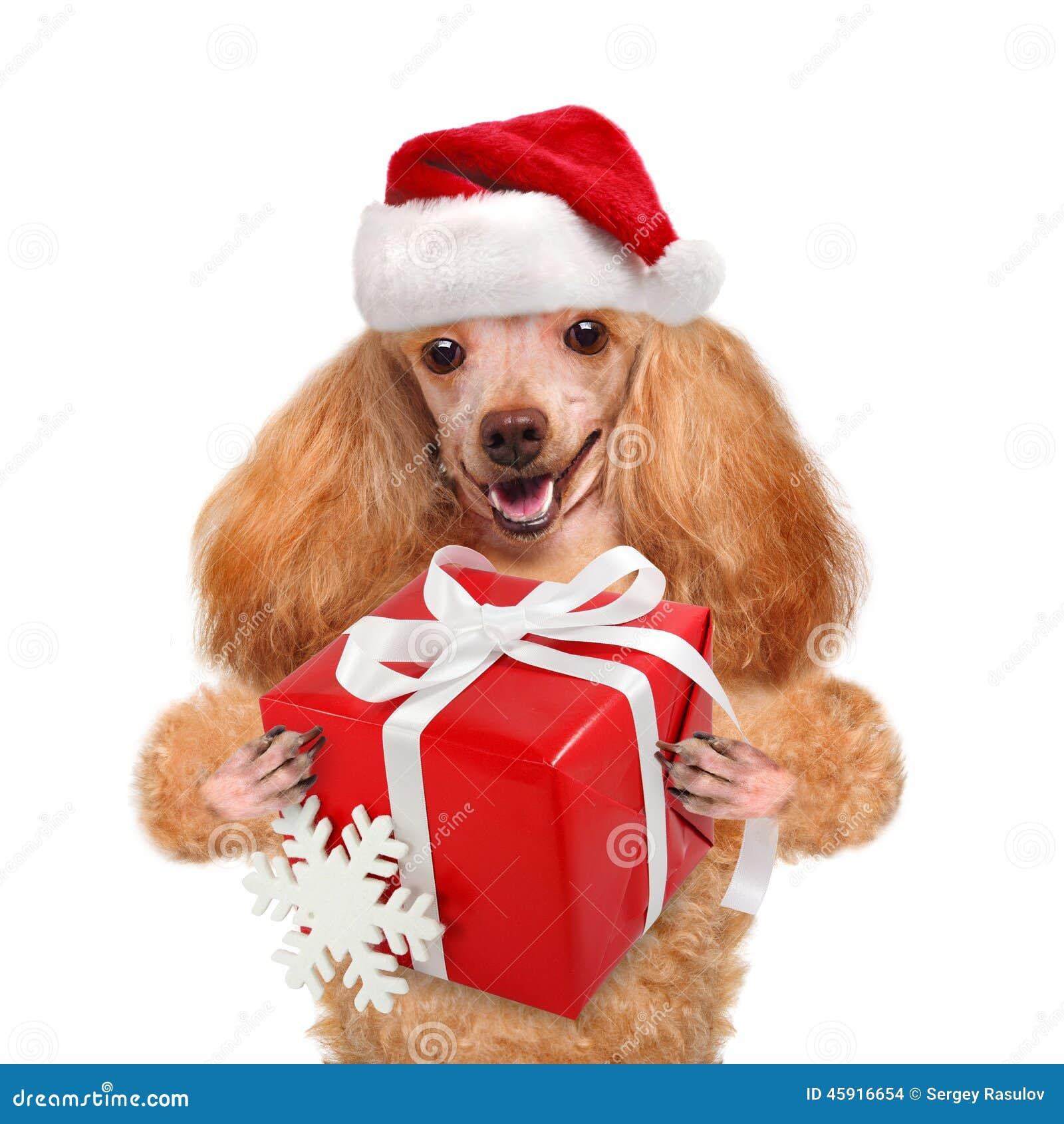 Perro en sombreros rojos de la Navidad con el regalo
