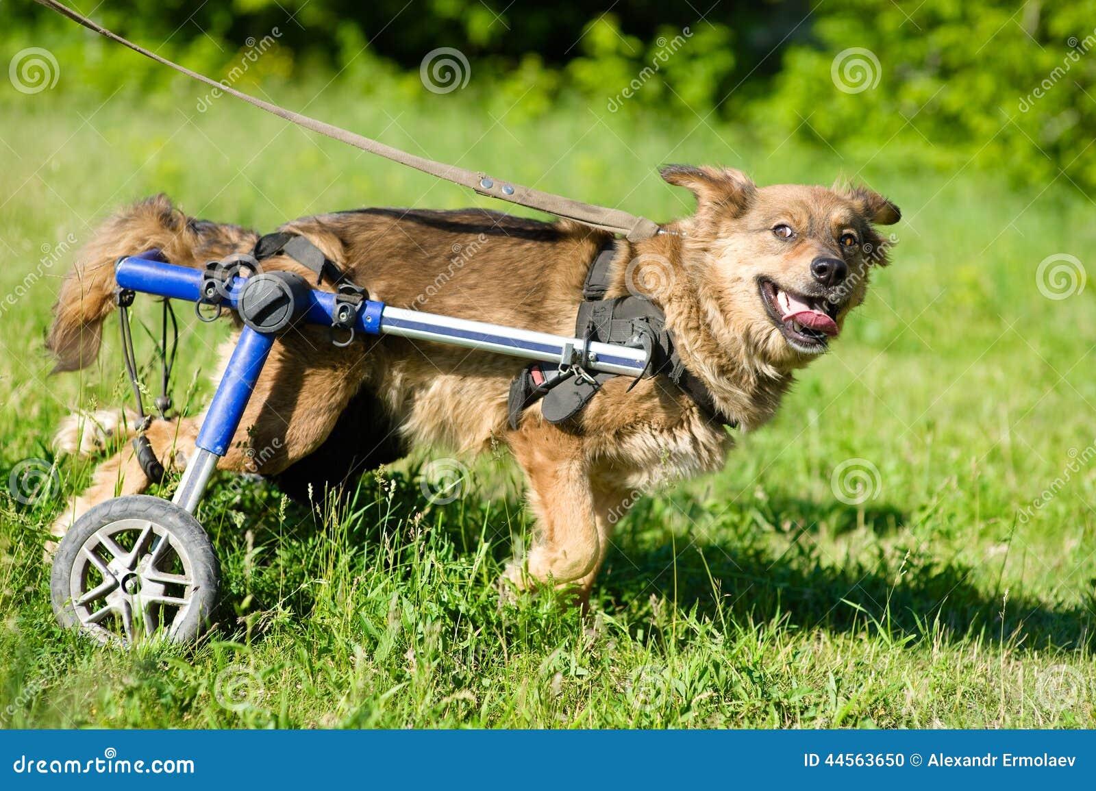 Perro en un sillón de ruedas