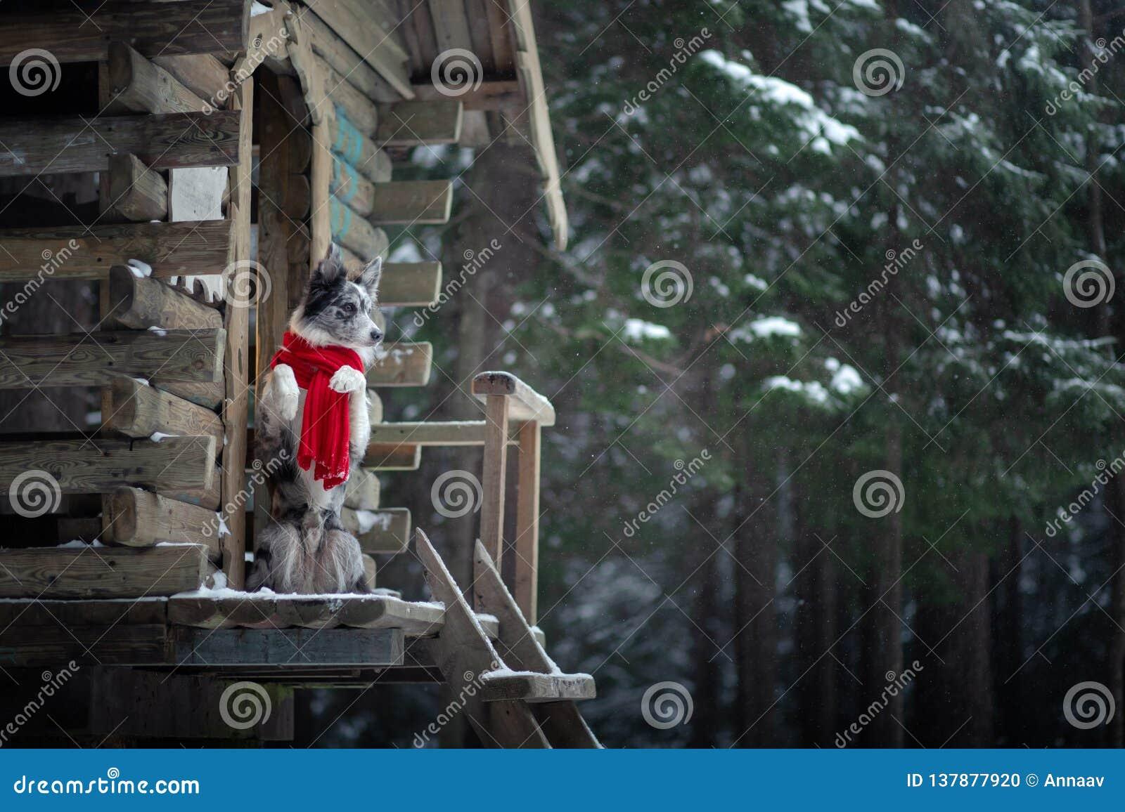 Perro en una bufanda roja en la casa de madera Frontera Collie In Winter Animal doméstico en el paseo