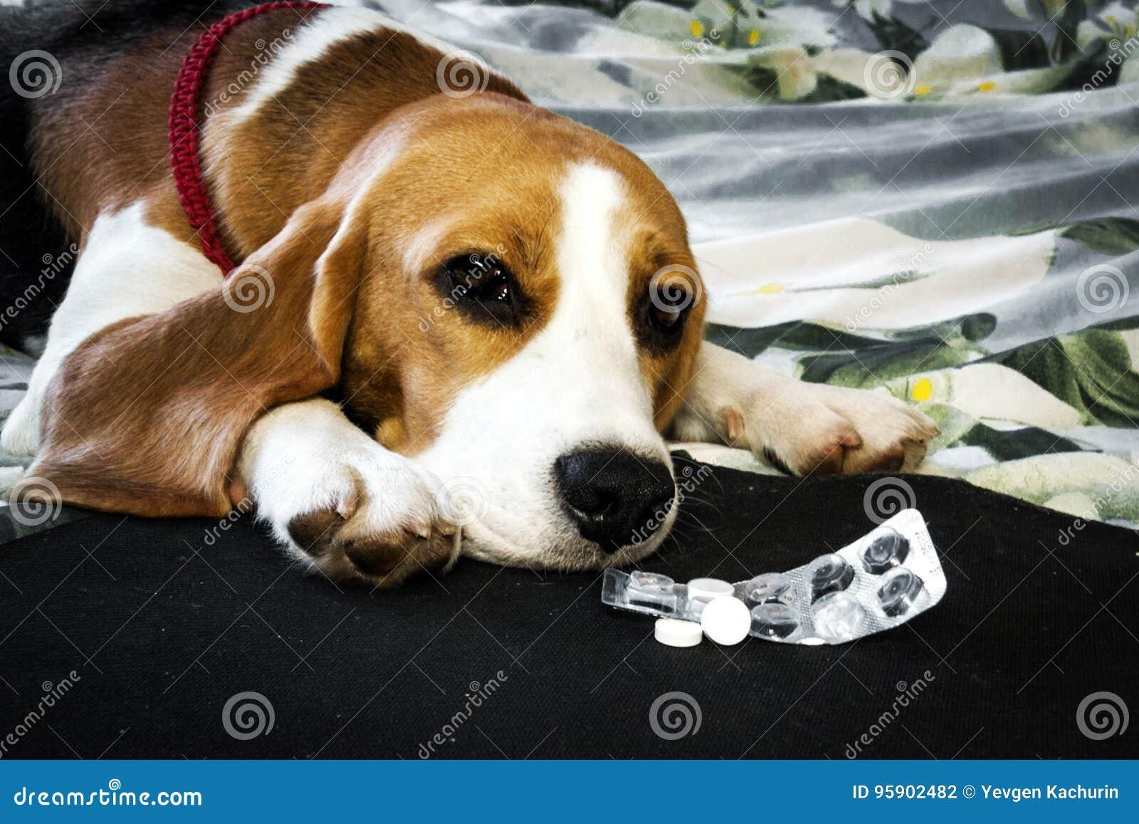 Perro enfermo con las píldoras