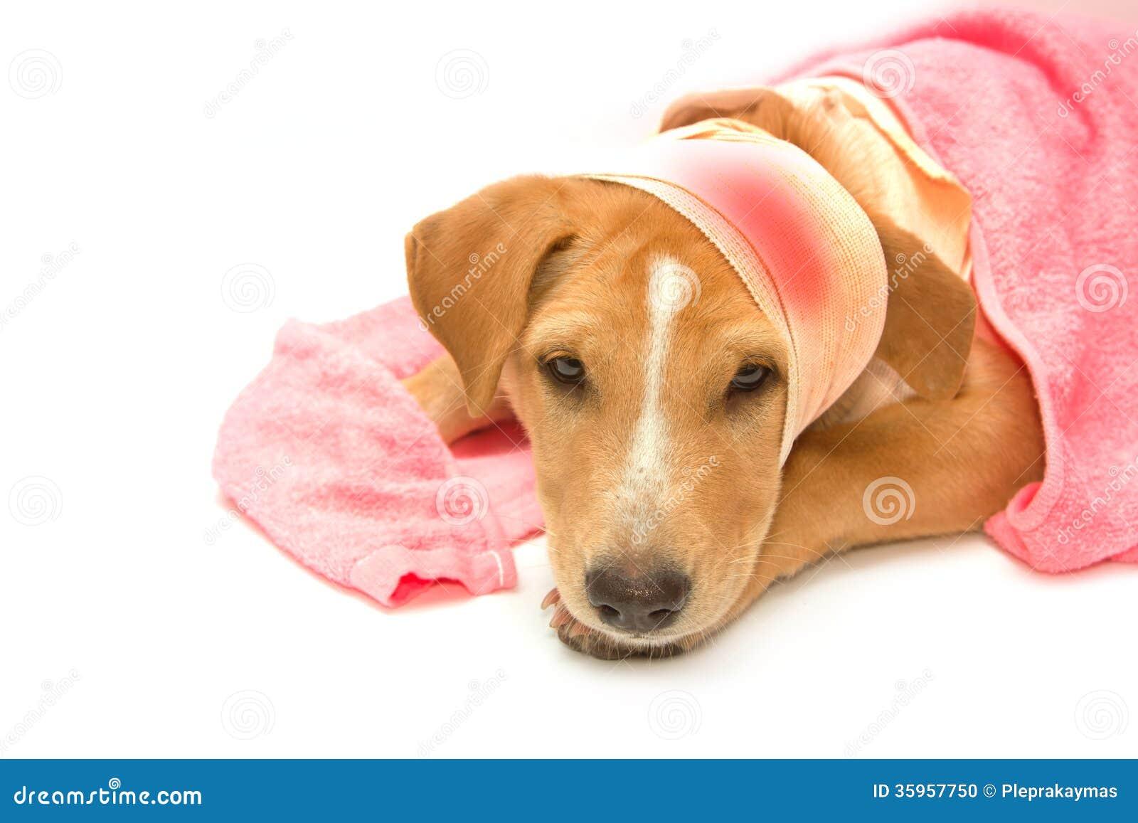 Perro enfermo con los vendajes en su cabeza