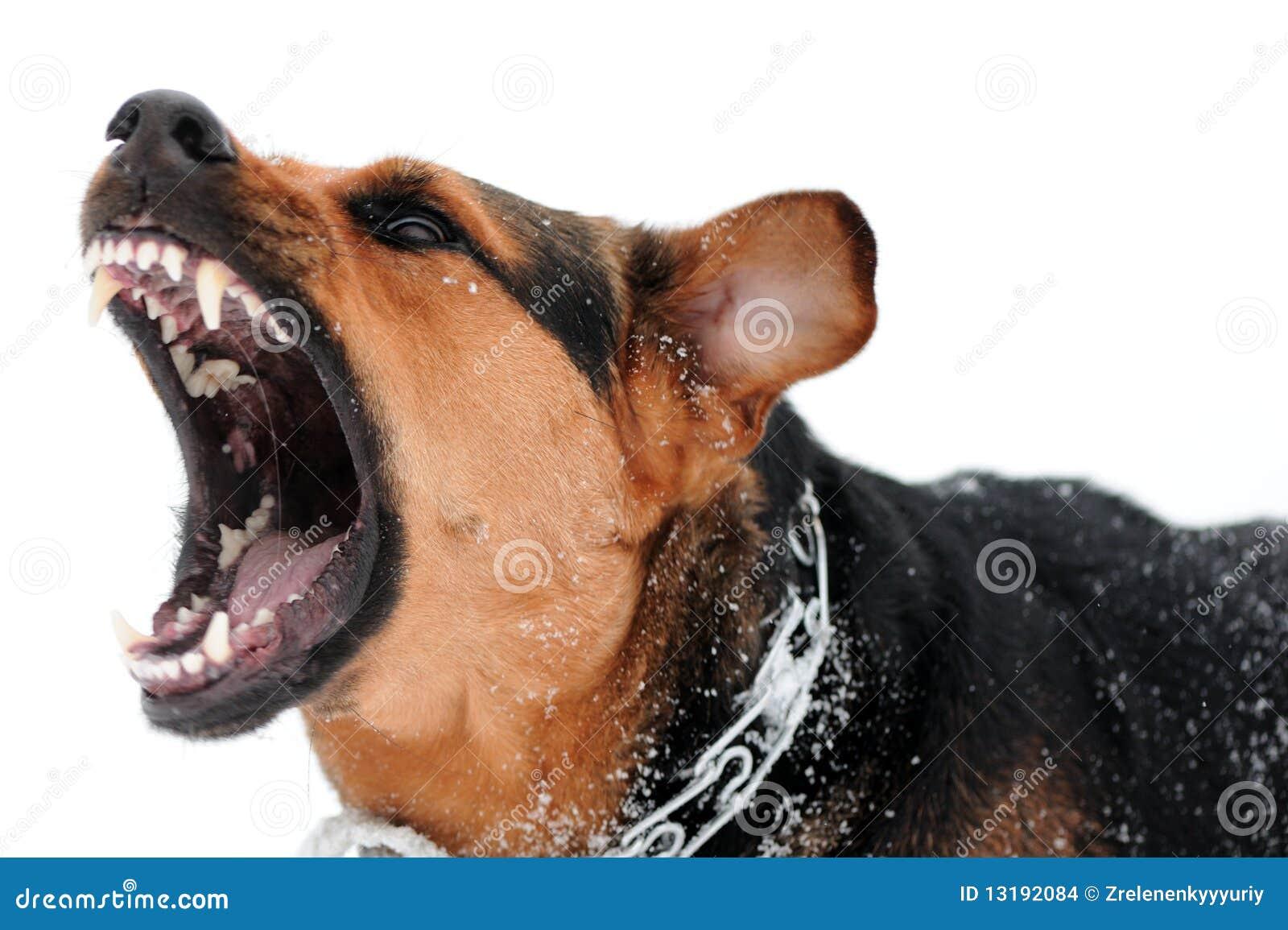 Perro enojado con los dientes descubiertos