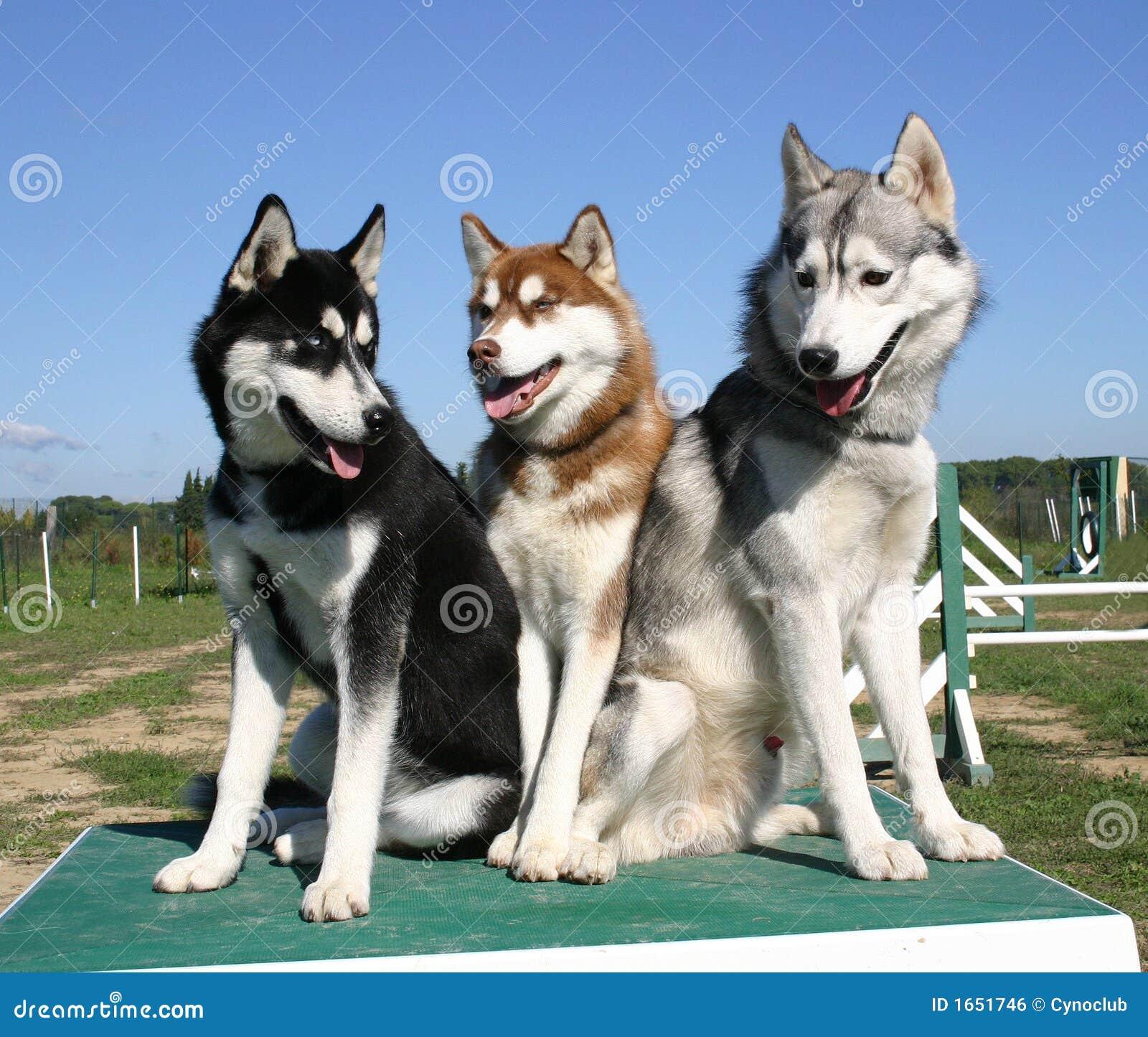 Perro esquimal siberiano de la familia
