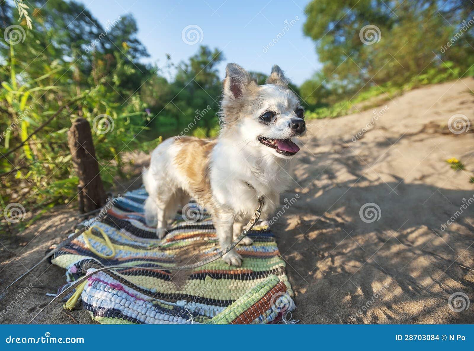 perro chihuahua fondo de - photo #21