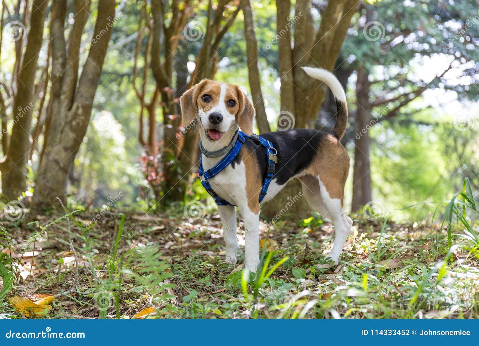 Perro feliz lindo del beagle que vaga en el bosque