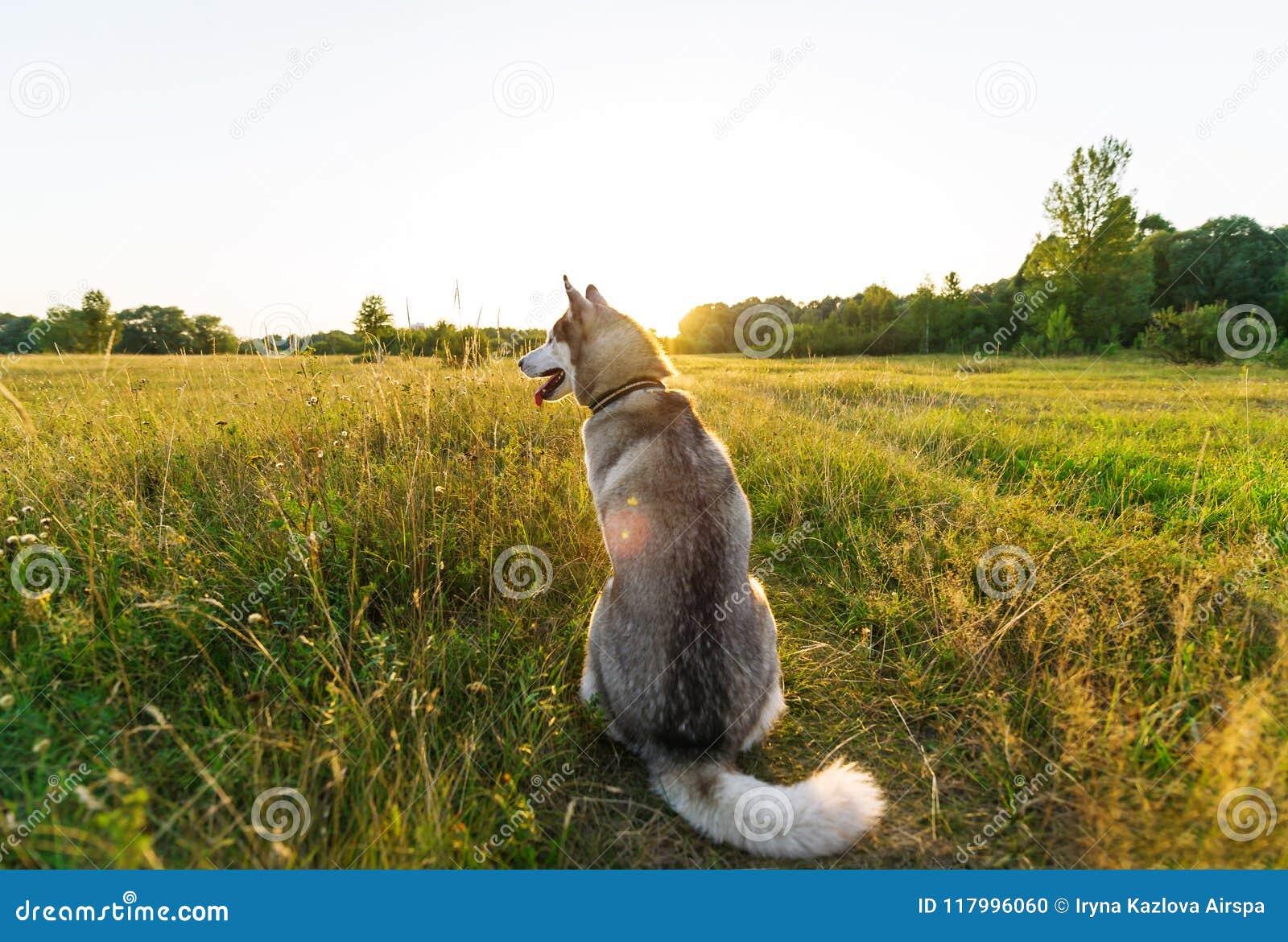 Perro fornido en un prado verde el la tarde Visión posterior