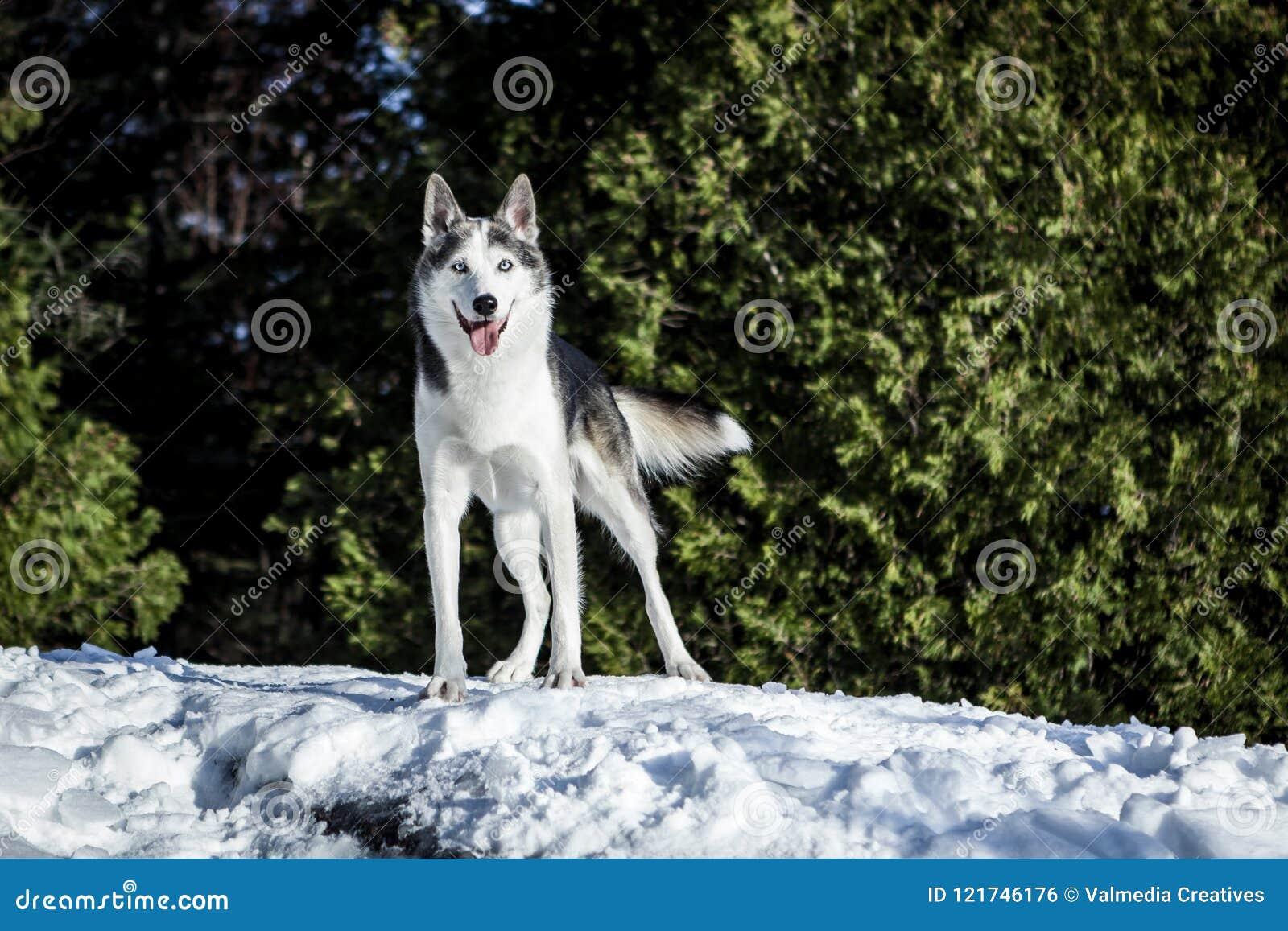 Perro fornido lindo que camina alrededor de la montaña