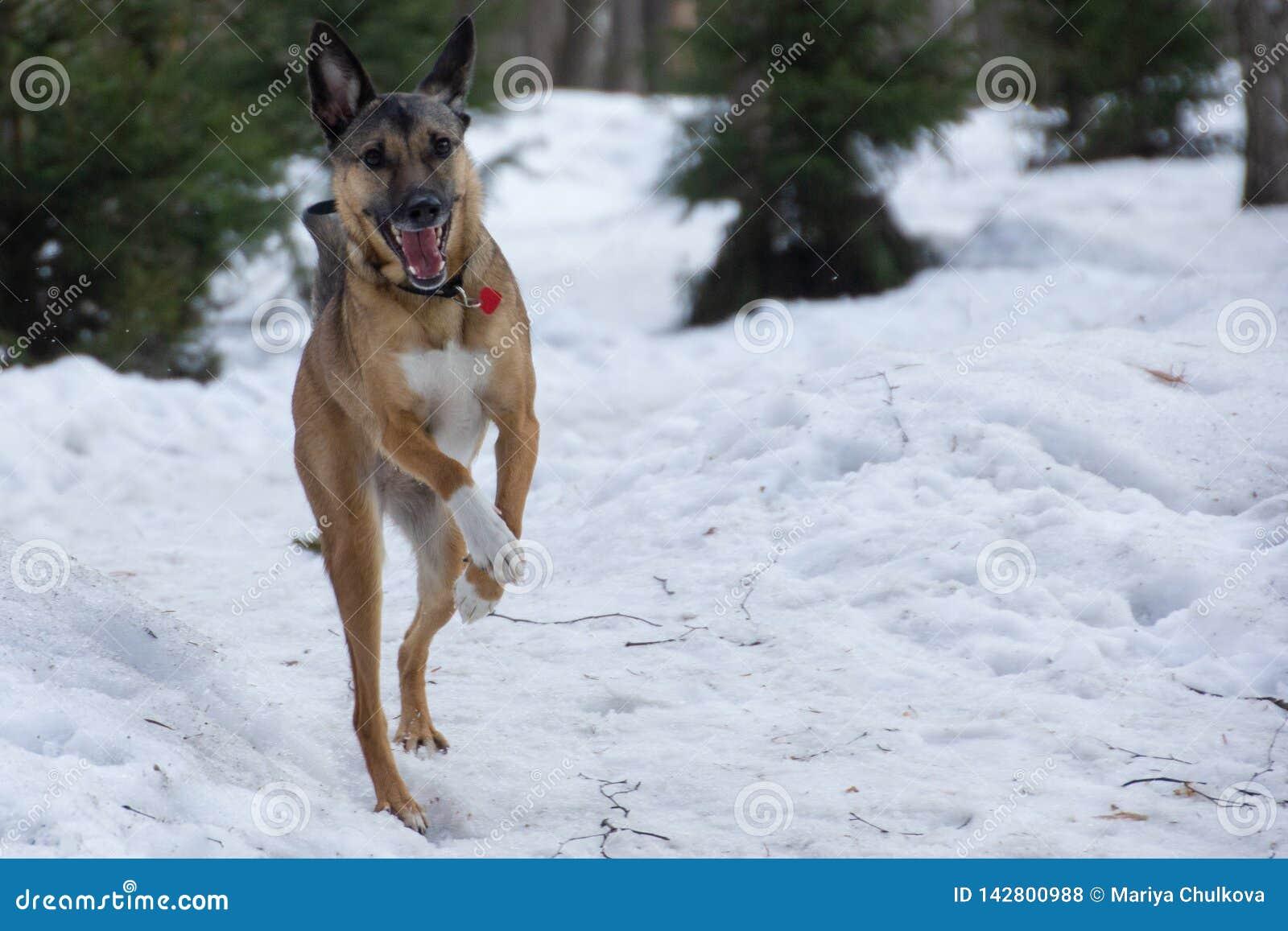 Perro funcionado con en un paseo en un parque del invierno