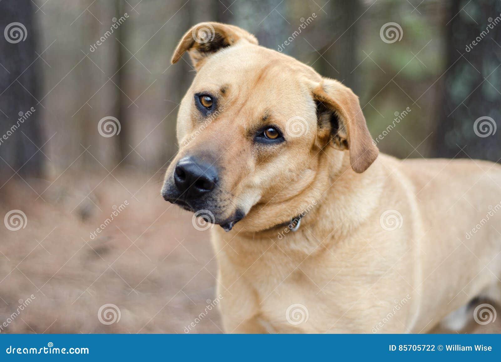 Perro grande mezclado mastín de la raza de Labrador