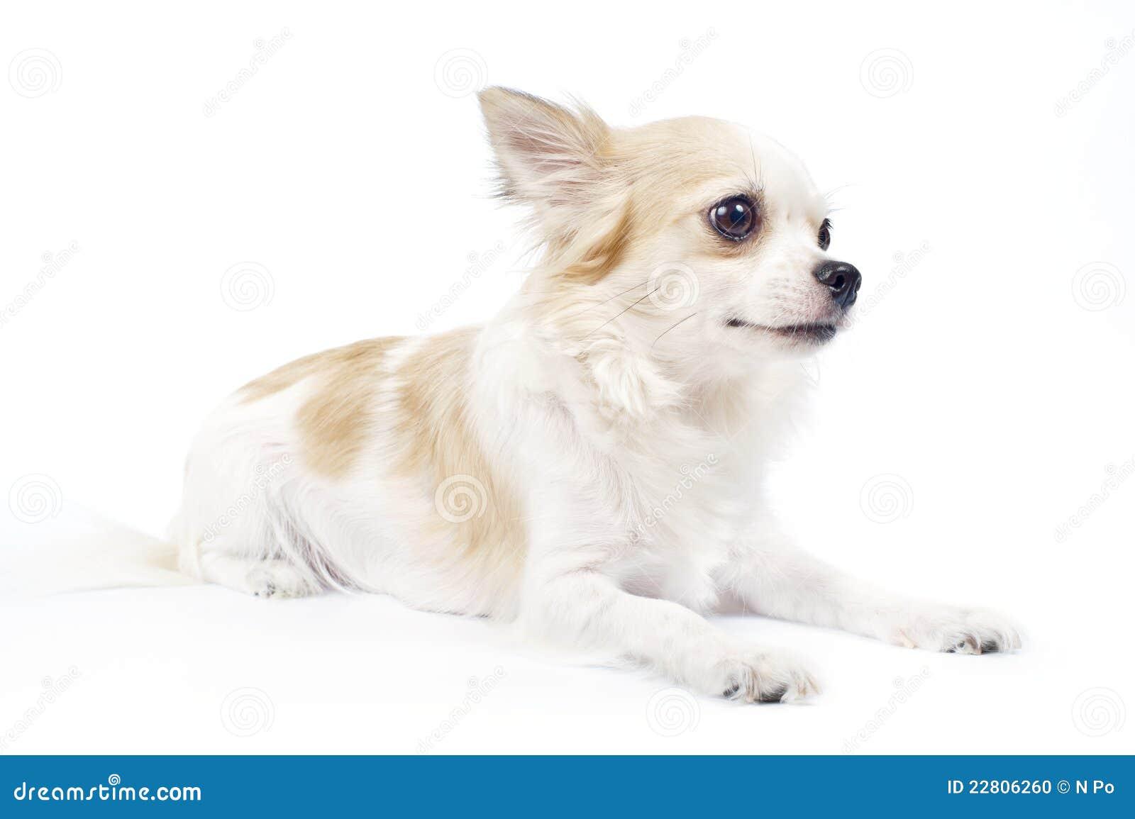 perro chihuahua fondo de - photo #1