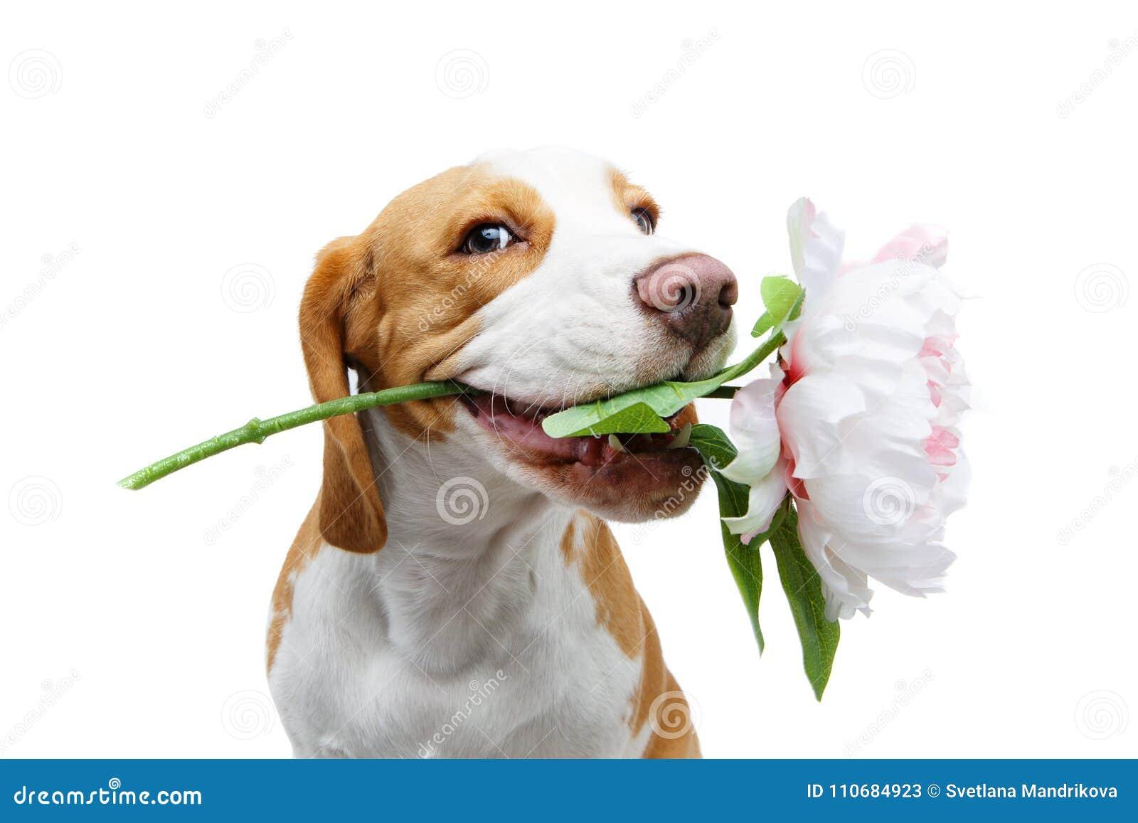 Perro hermoso del beagle con la flor