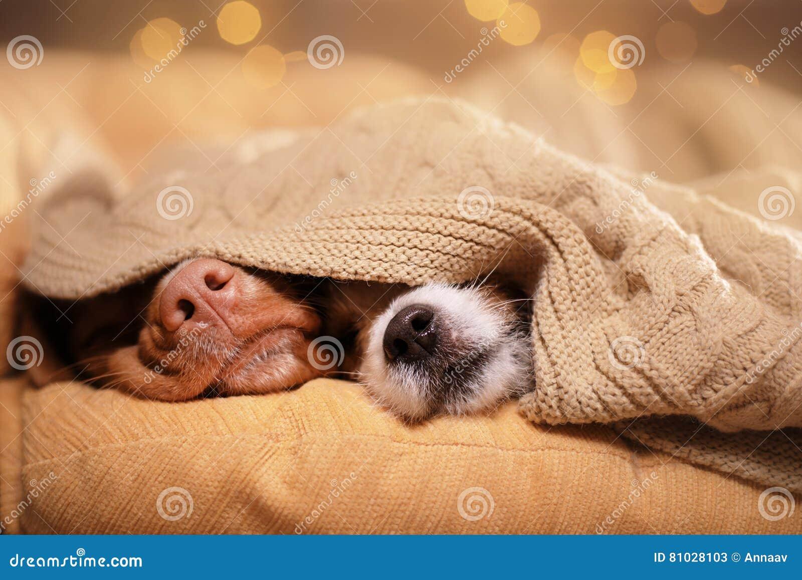 Perro Jack Russell Terrier y perro Nova Scotia Duck Tolling Retriever