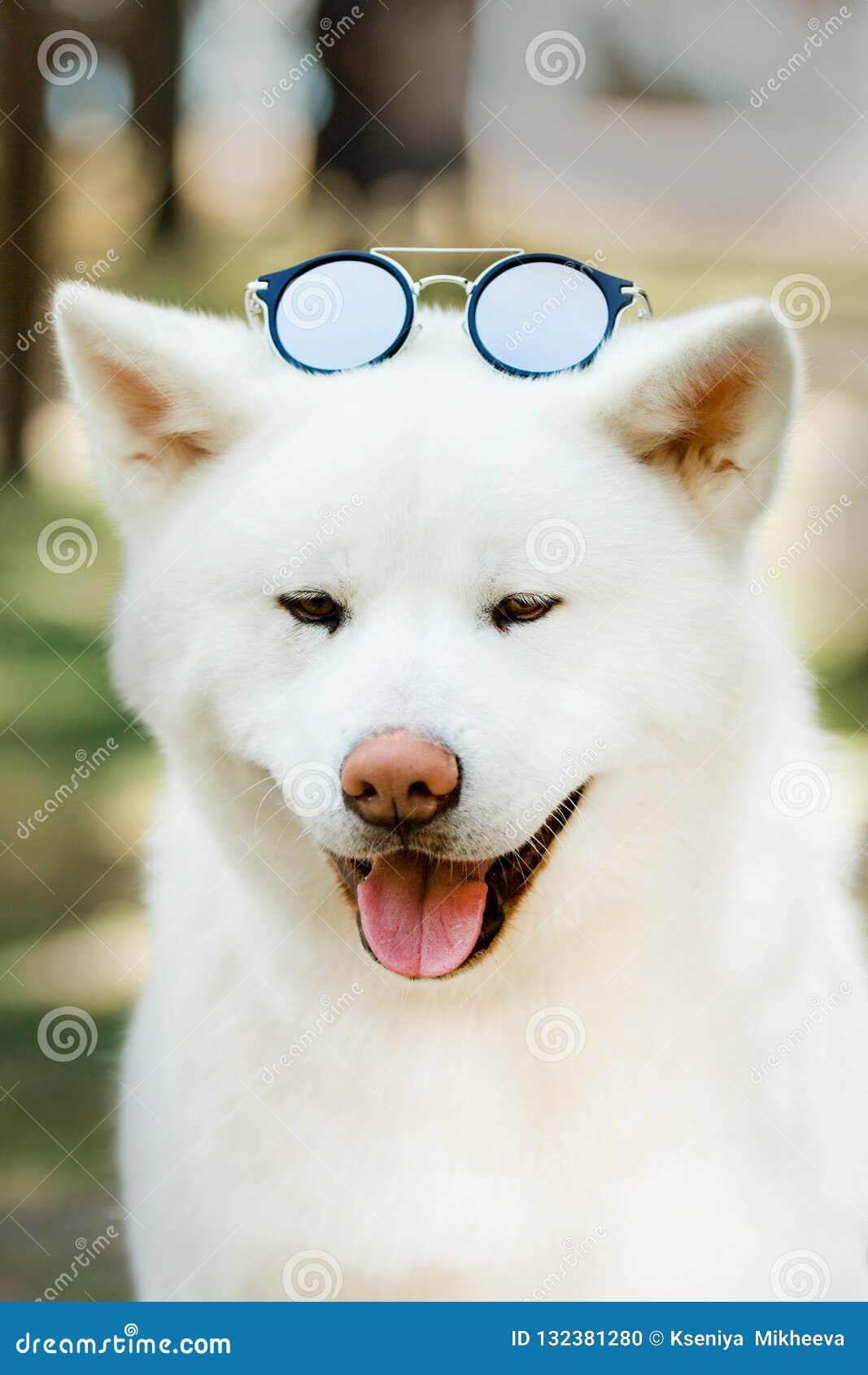 Perro japonés feliz hermoso de Akita del retrato con las gafas de sol Bosque verde en fondo