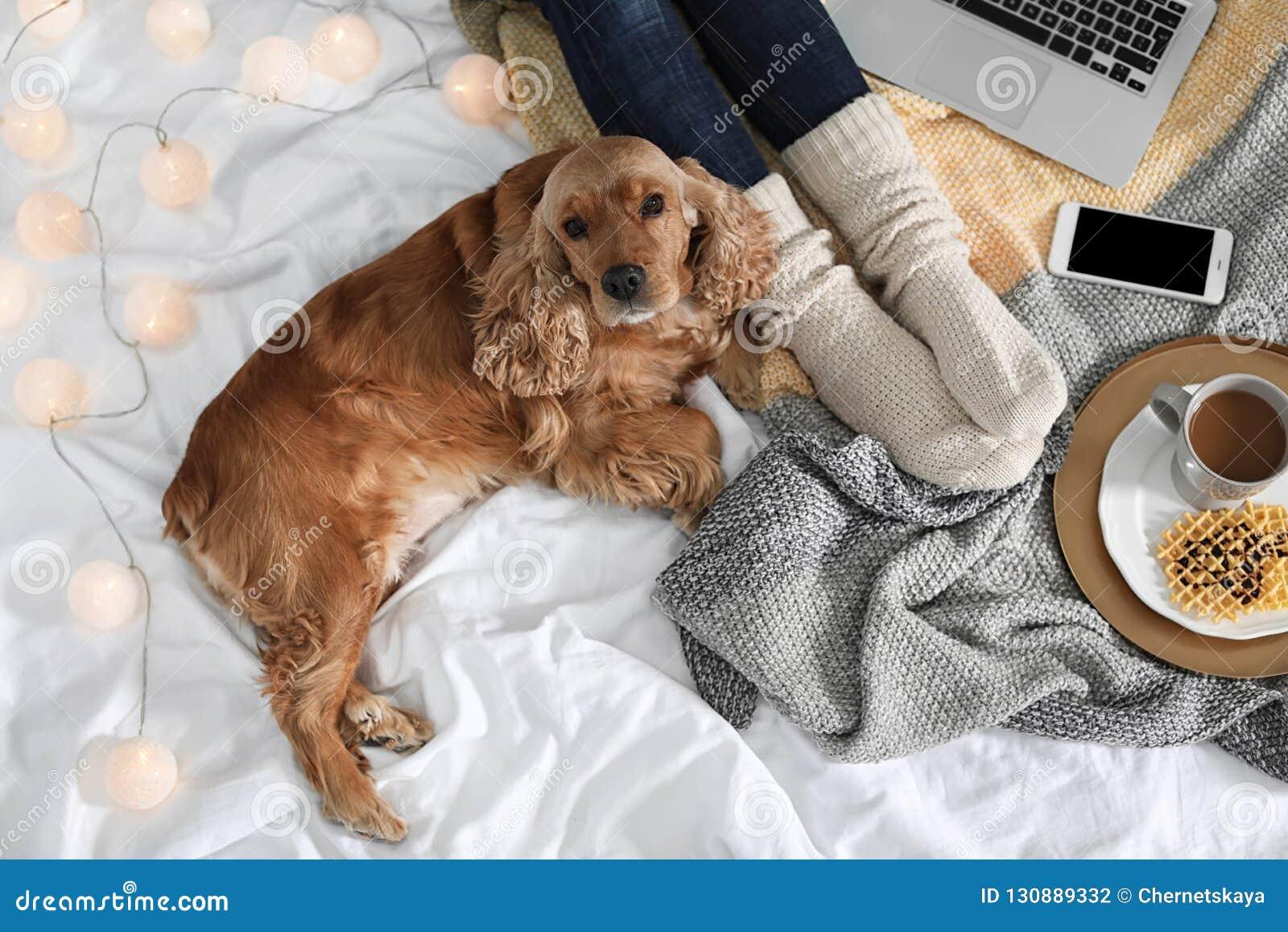 Perro lindo de Cocker Spaniel con la manta caliente que miente cerca de dueño en la cama, visión superior