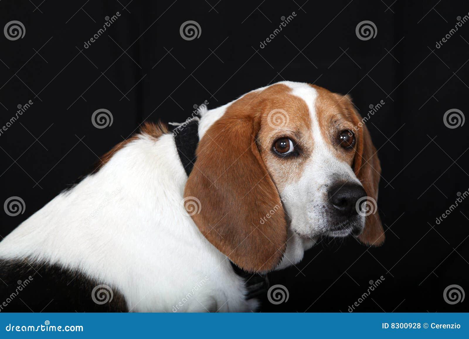 Perro lindo del beagle