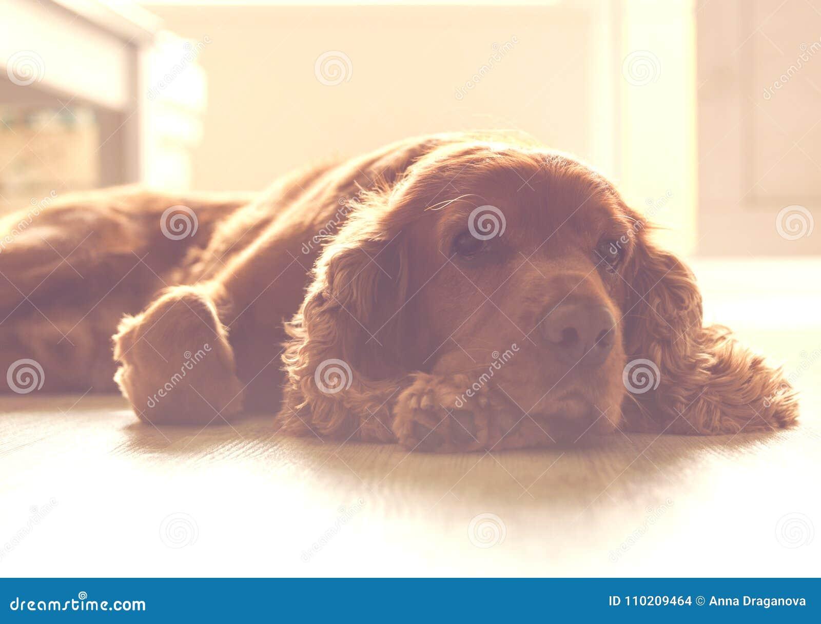 Perro lindo - inglés cocker spaniel que descansa sobre la parte soleada del piso