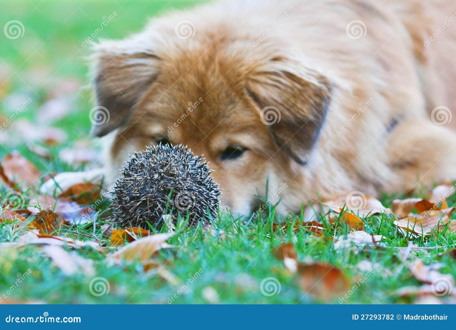 Resultado de imagen de erizo y perro