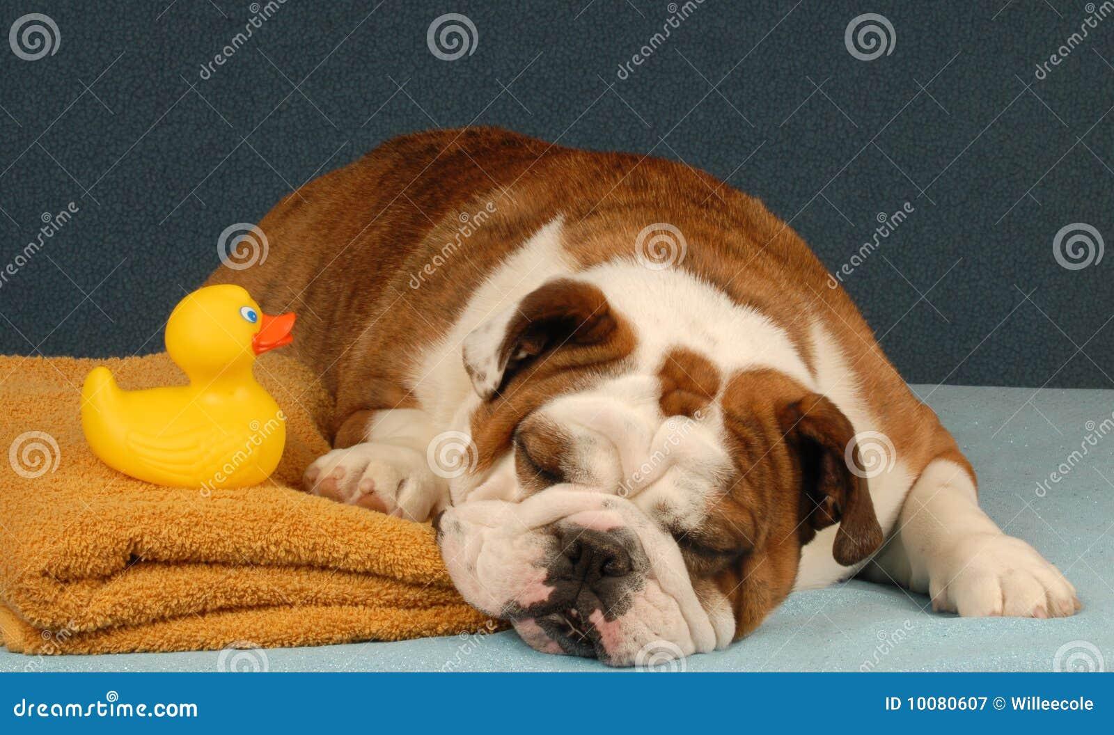 Imagenes De Tomar Un Baño: de archivo libre de regalías: Perro listo para tomar un baño