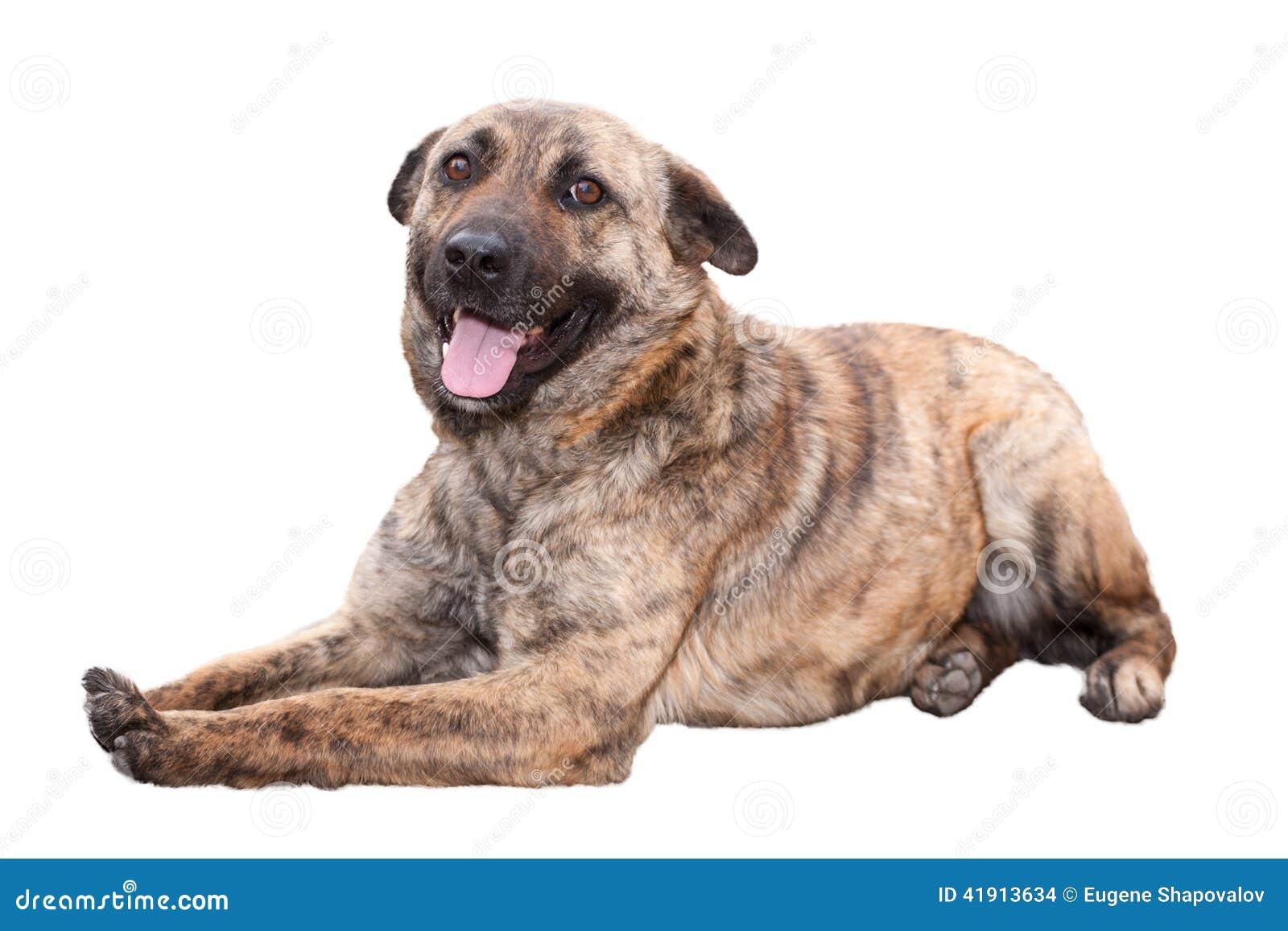Perro marrón de mentira del boxeador