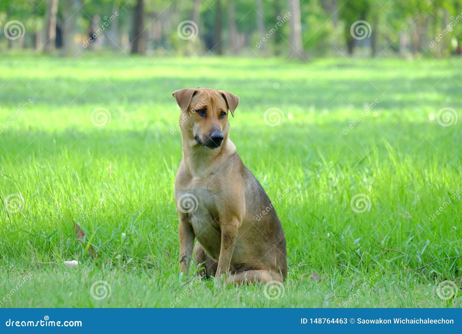 Perro marrón tailandés que se sienta en un campo de hierba en el parque con el fondo verde de la naturaleza y la luz caliente