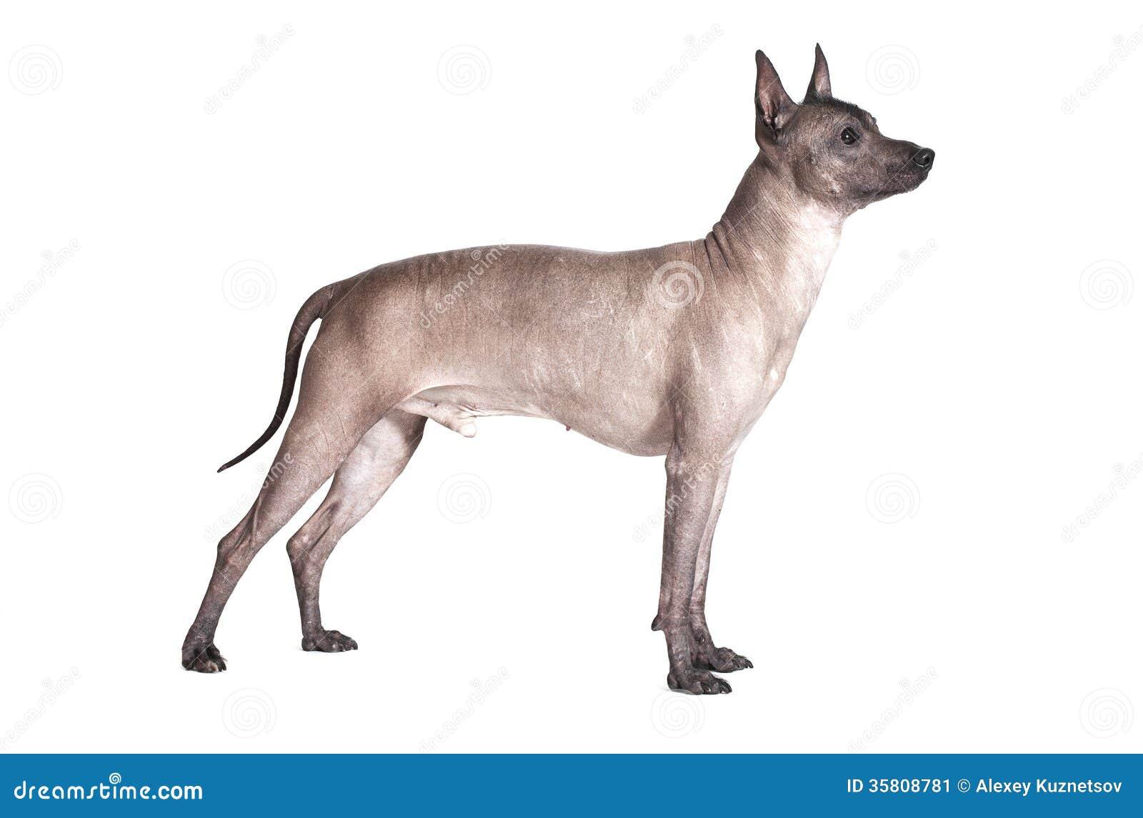 Perro masculino del xoloitzcuintle mexicano aislado en blanco