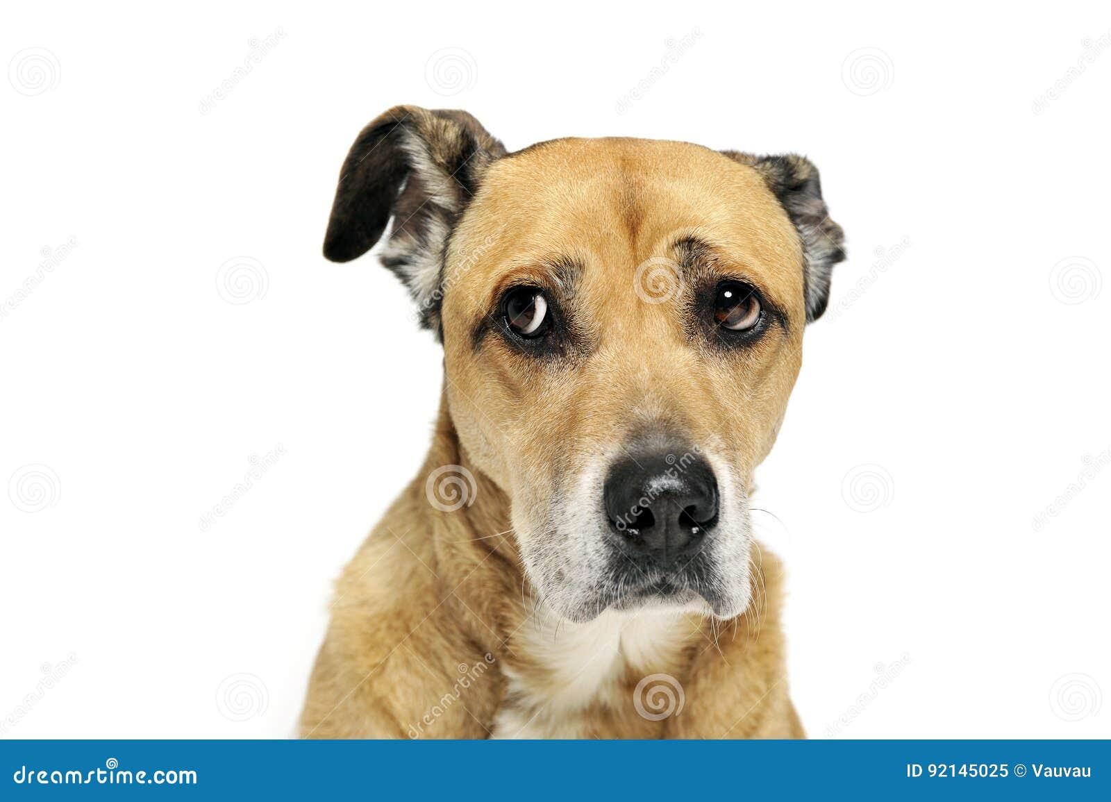 Perro mezclado asustado de la raza en un fondo blanco