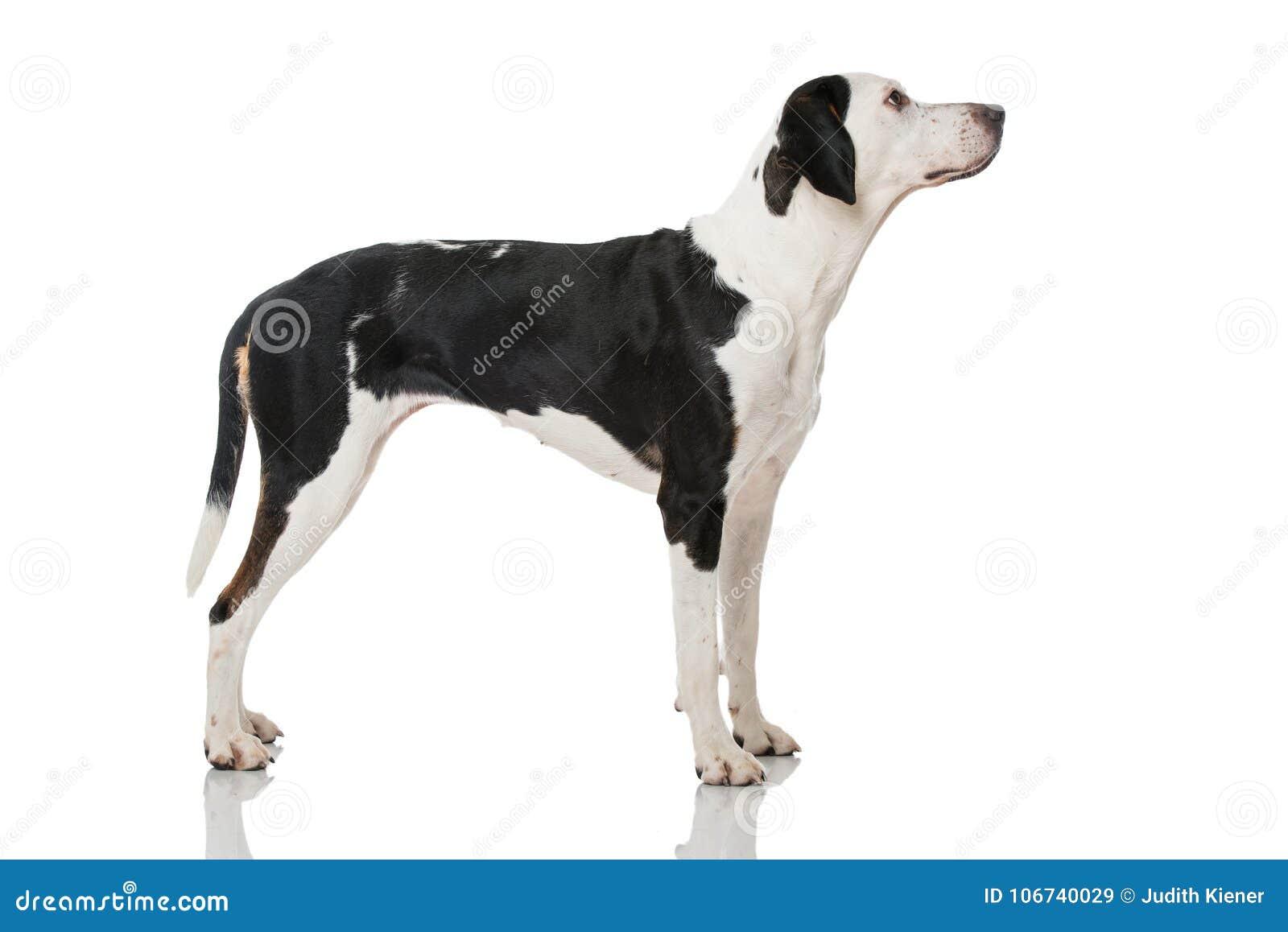 Perro mezclado blanco y negro de la raza