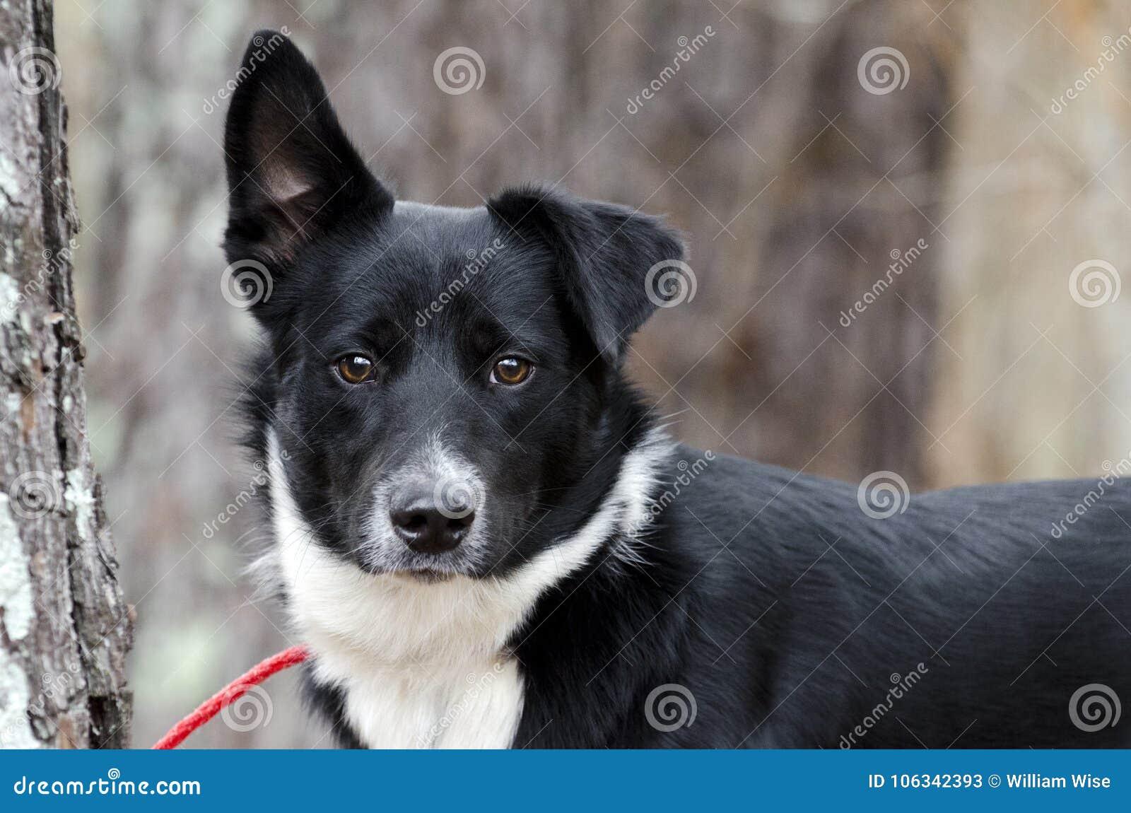 Perro mezclado Collie Aussie blanco y negro de la raza de la frontera