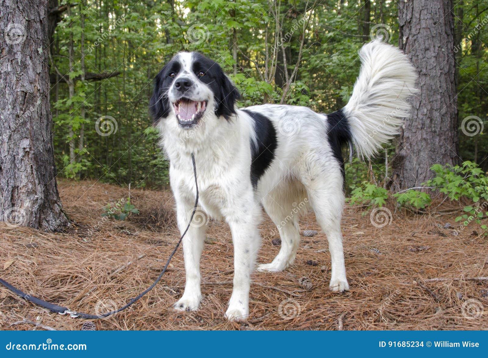 Perro mezclado Collie Great Pyrenees de la raza de la frontera