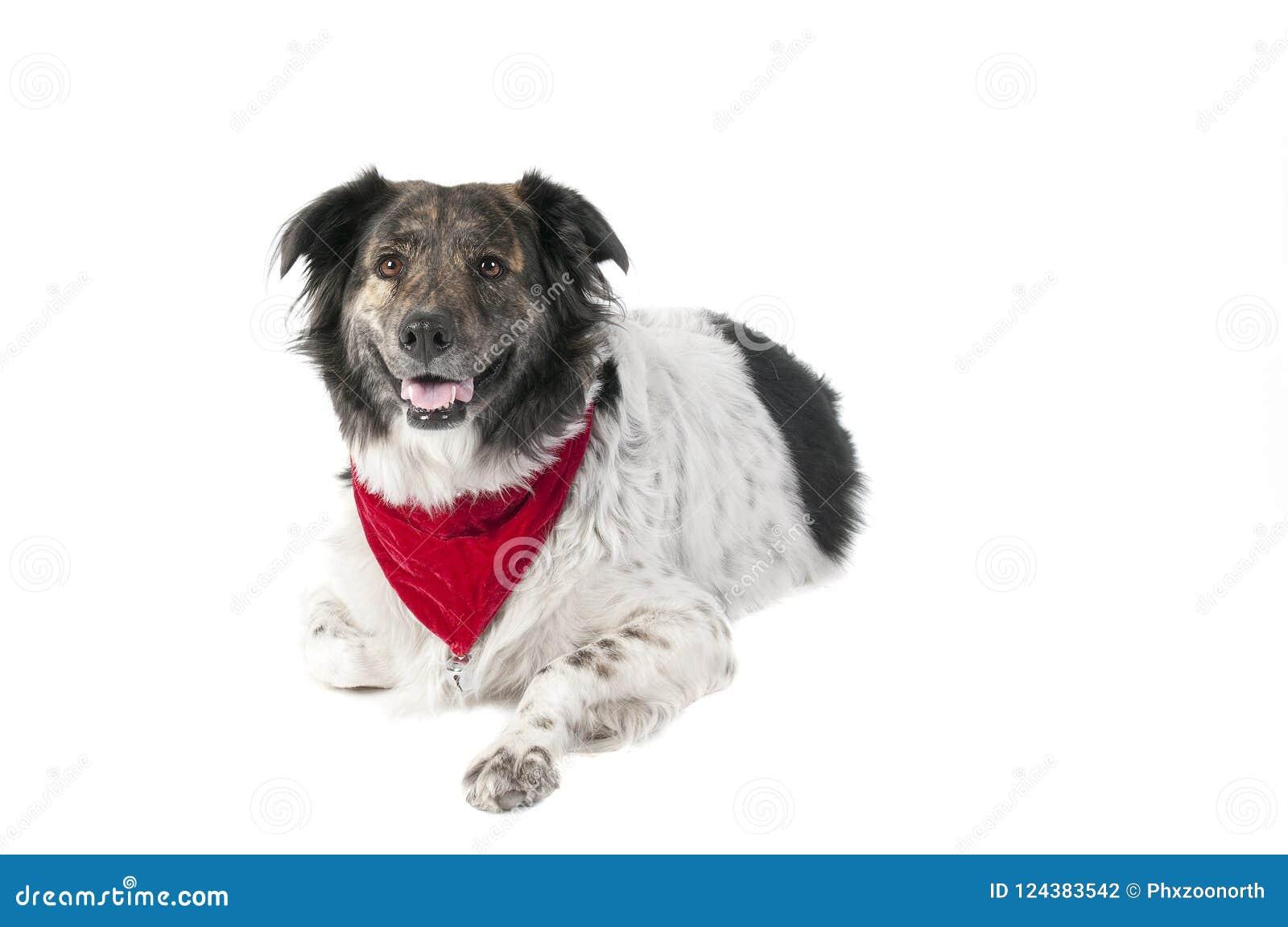 Perro mezclado de la raza en la fijación del traje de la Navidad del día de fiesta aislada