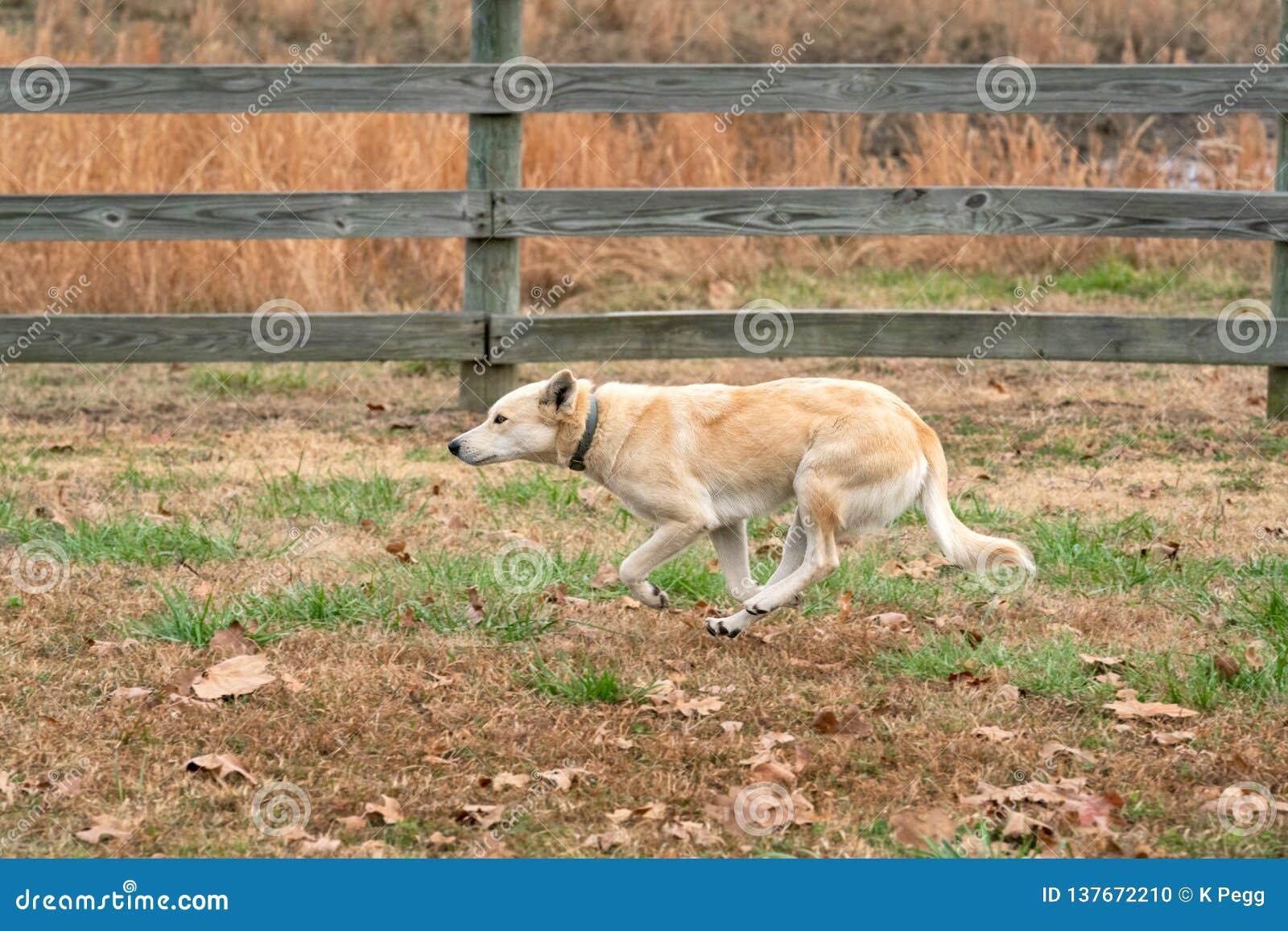 Perro mezclado del rancho de la raza que corre a lo largo de la cerca Oklahoma del pasto