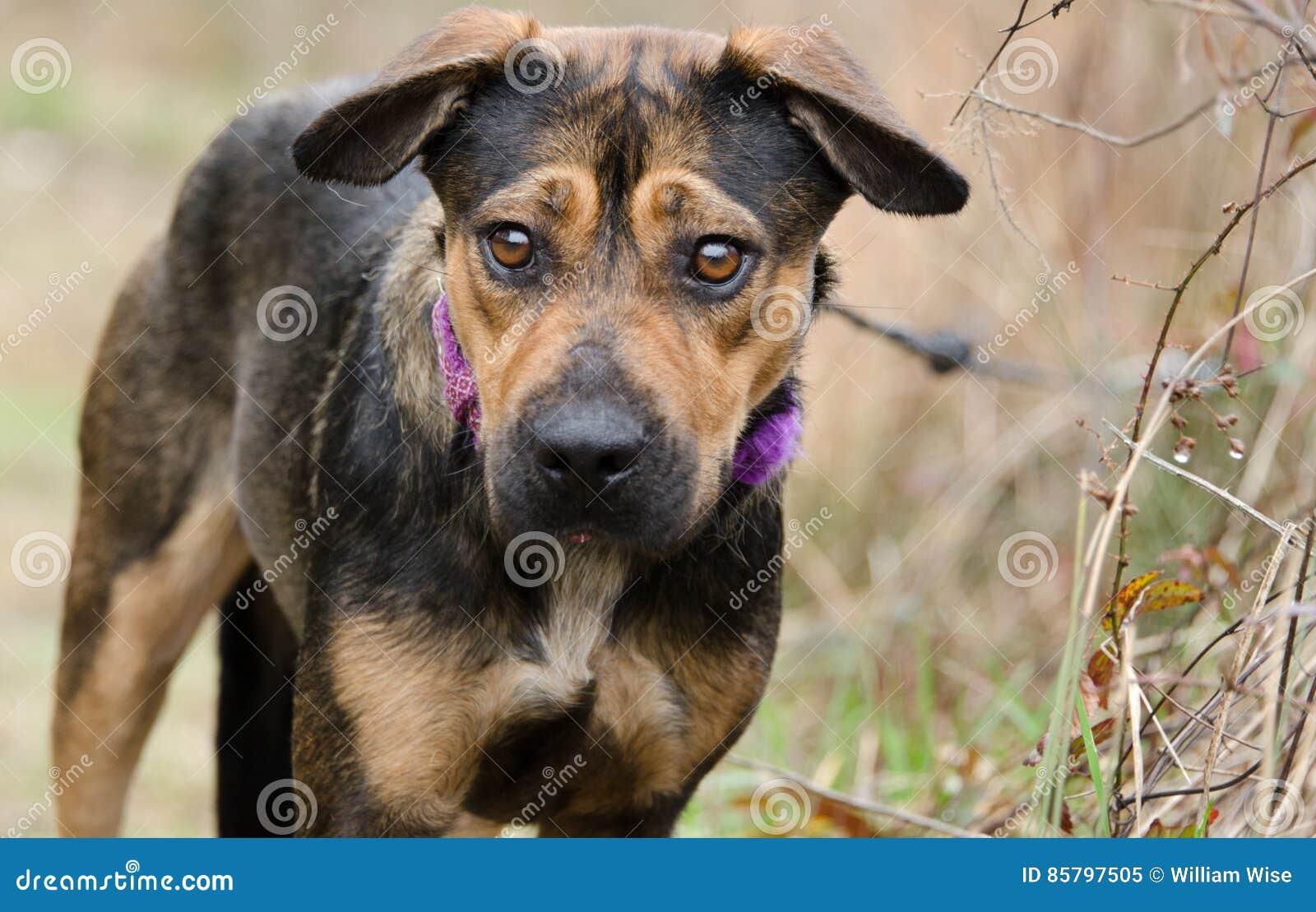 Perro mezclado pastor de la raza