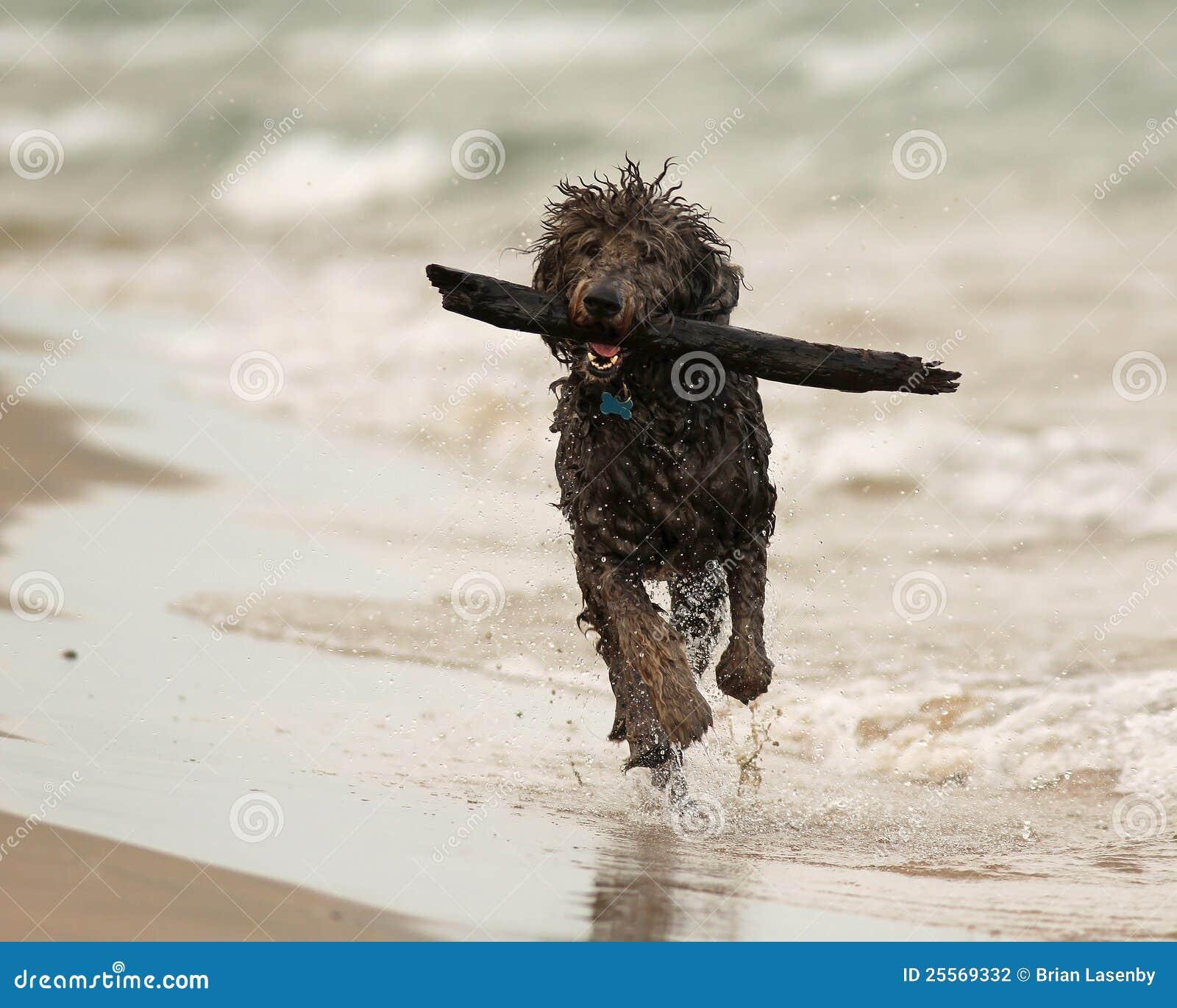 Perro mojado que se ejecuta con el palillo en la playa
