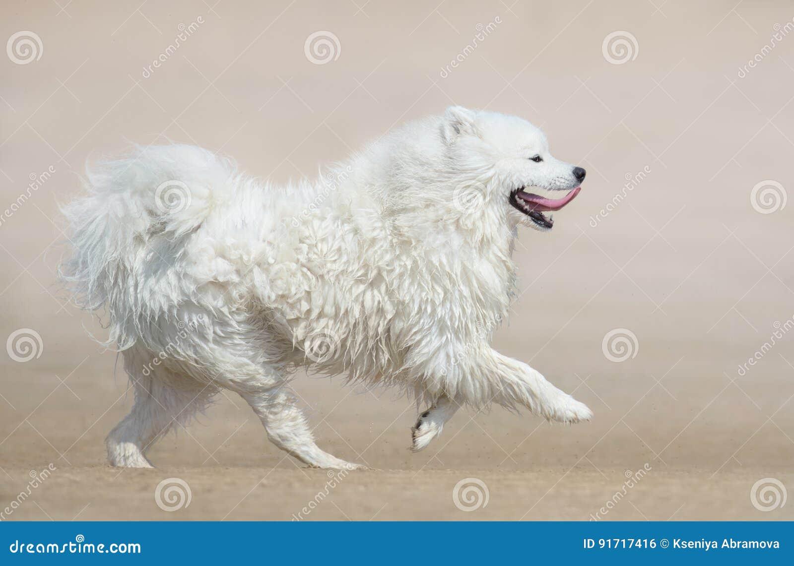 Perro mullido blanco del perro del samoyedo de la raza que corre en la playa