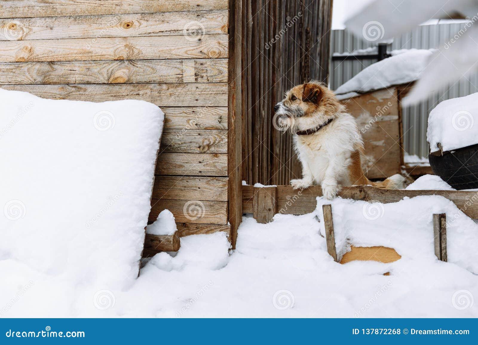 Perro nacional que guarda el hogar