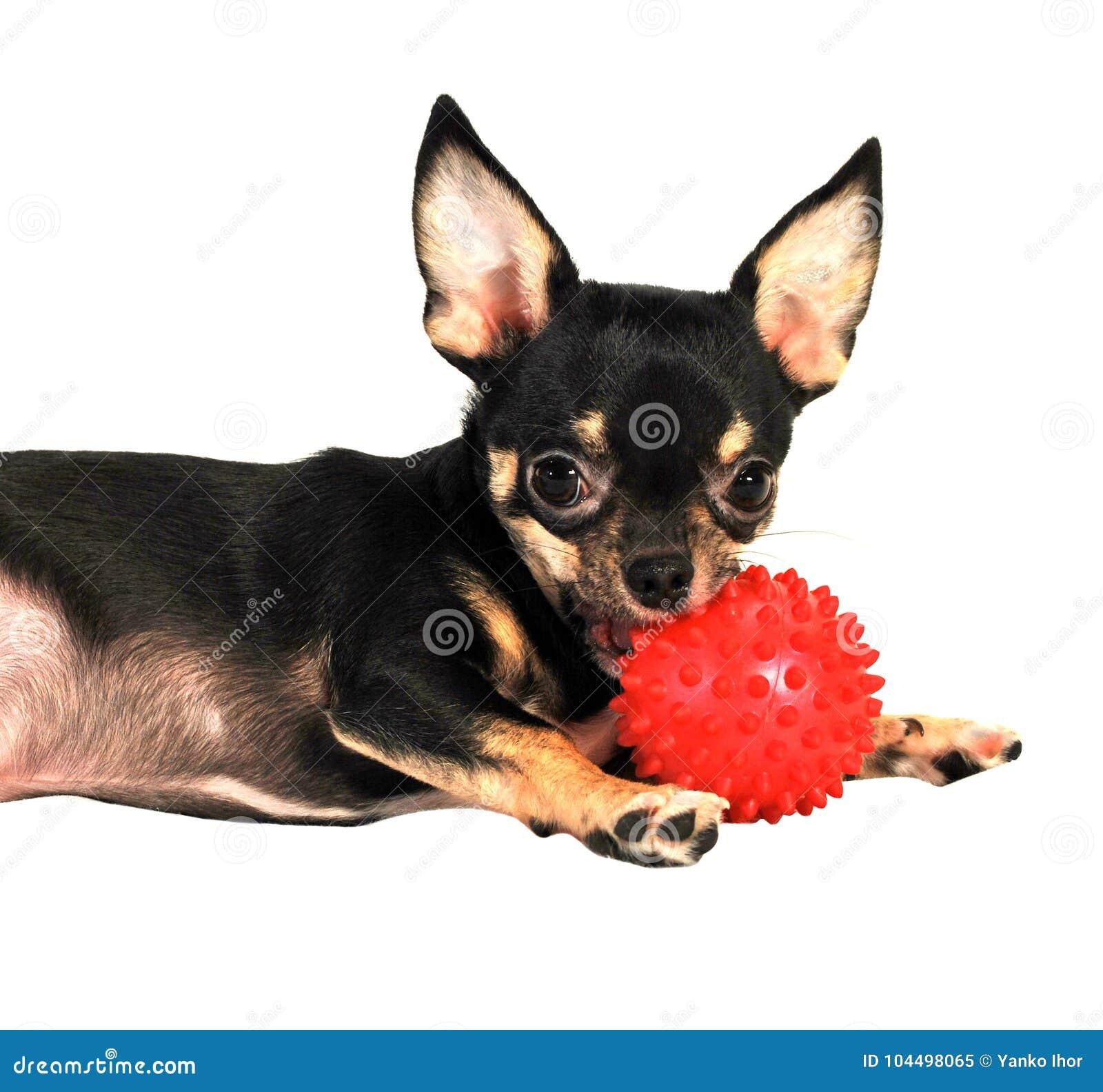 Perro Negro De La Chihuahua Imagen de archivo - Imagen de pista ...