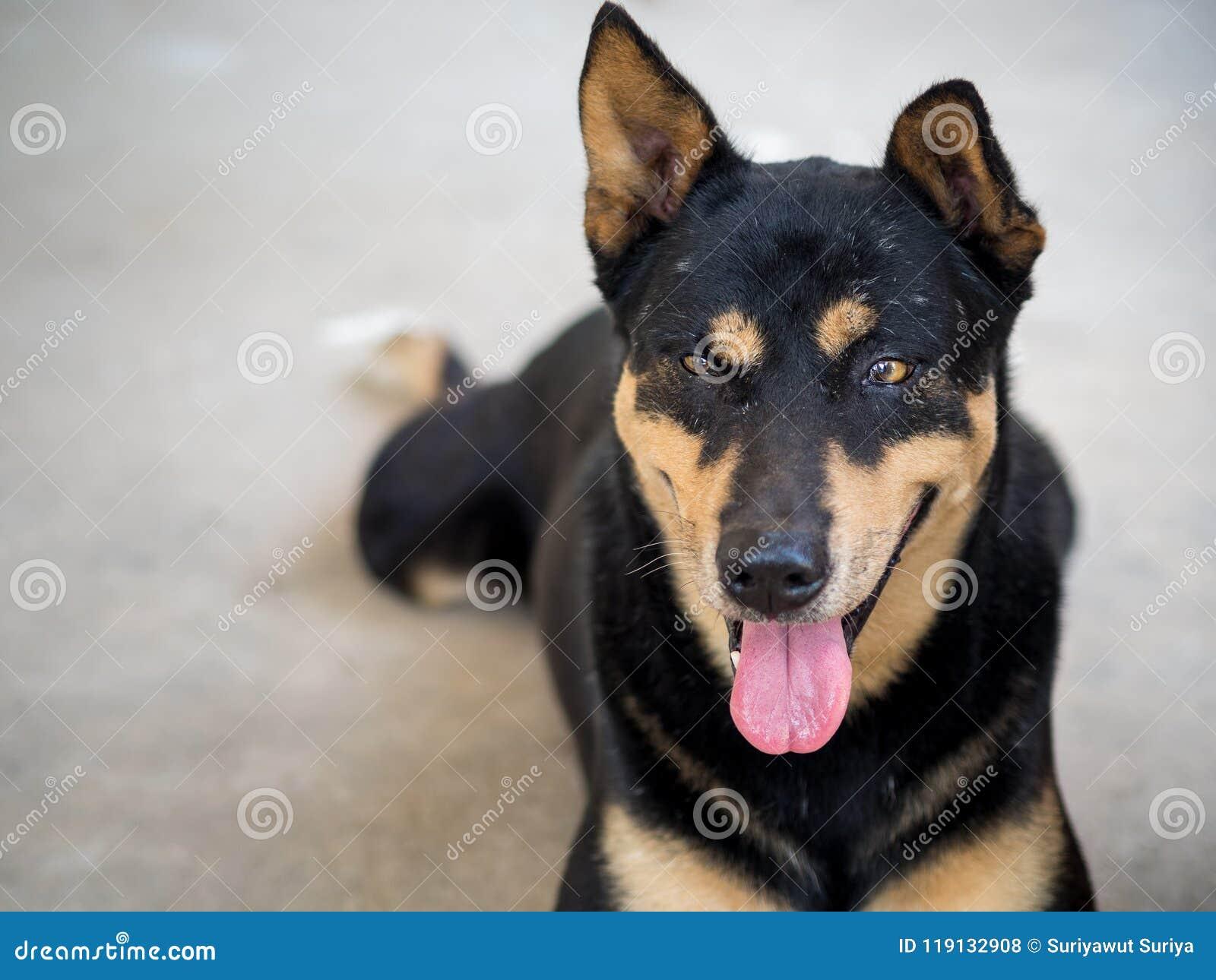 Perro negro feliz que pone completamente en el piso Concepto animal feliz