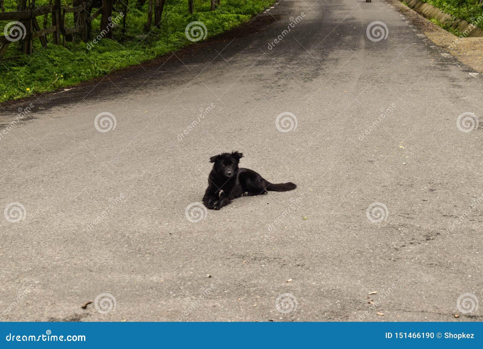 Perro negro que se sienta en la carretera de asfalto que espera un coche para matarle Perro suicida