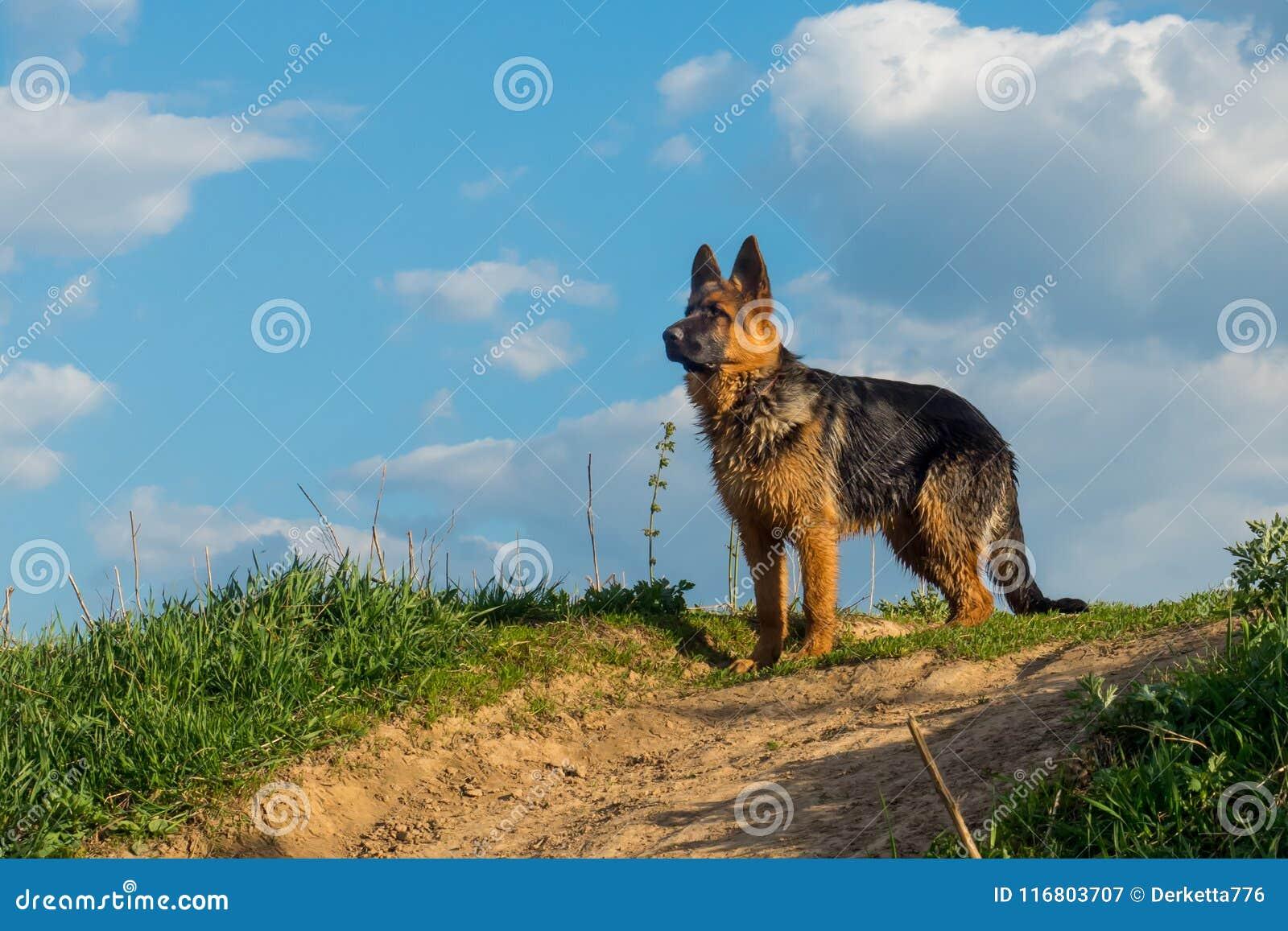 Perro, pastor alemán que se coloca en una carretera nacional y que mira en la distancia